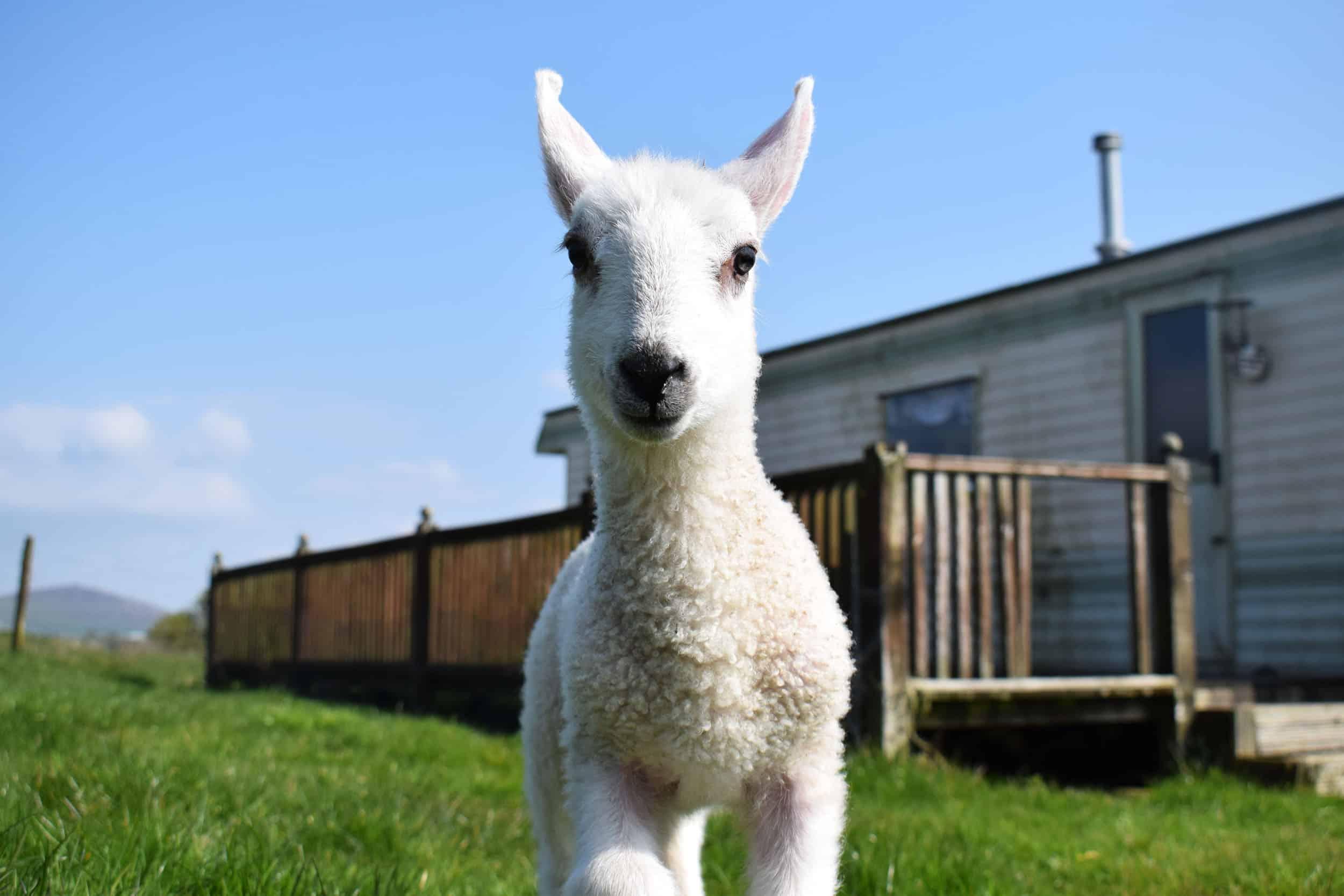 Lily sweet bfl blueface leicester sheep ewe lamb pet bottle baby lamb