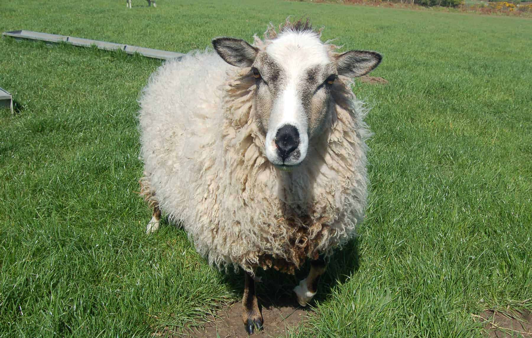 patchwork sheep yearling beautiful smudge cute lamb golden soay cross shetland jacob sheep