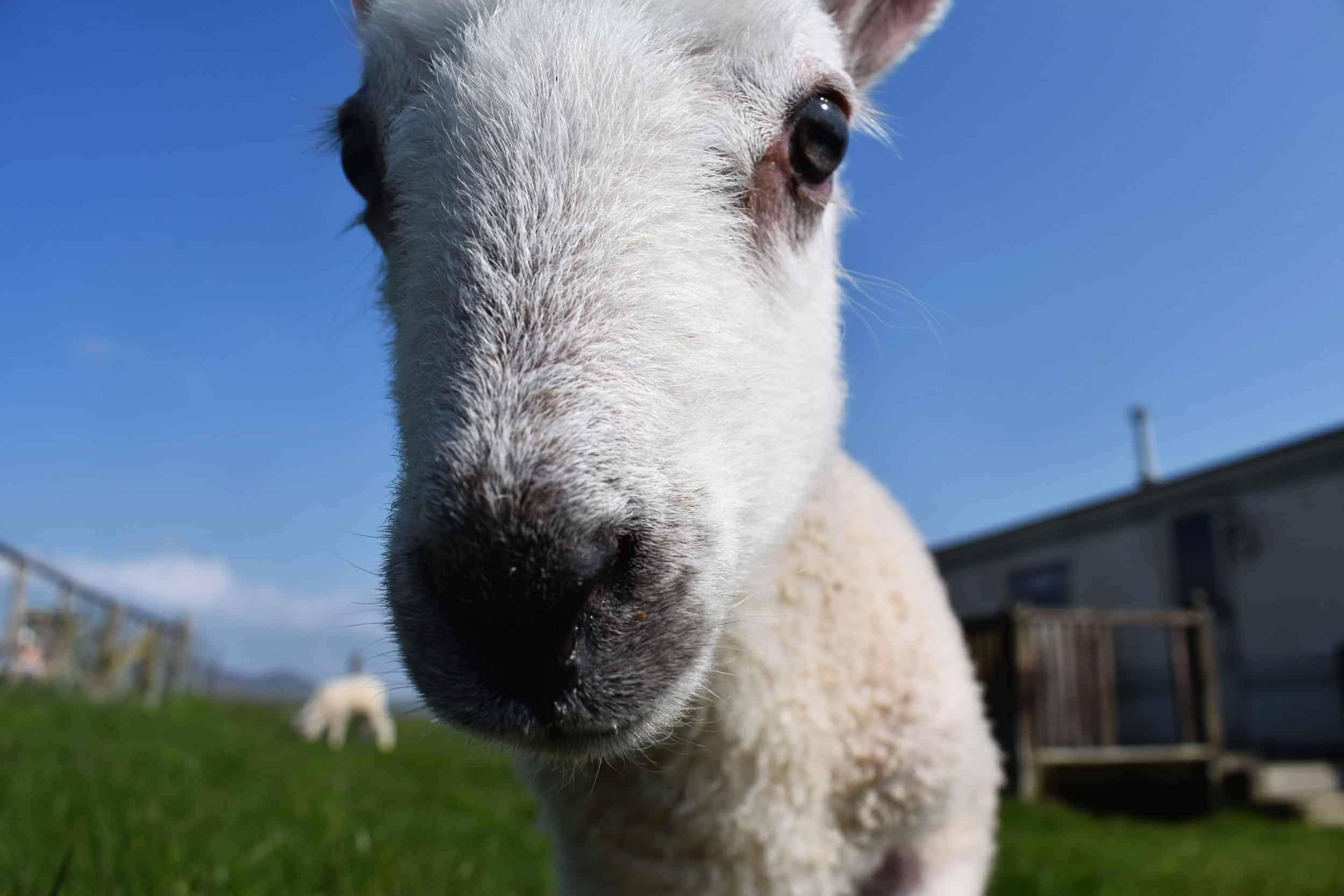 Lily close bfl blueface leicester sheep ewe lamb pet bottle baby lamb