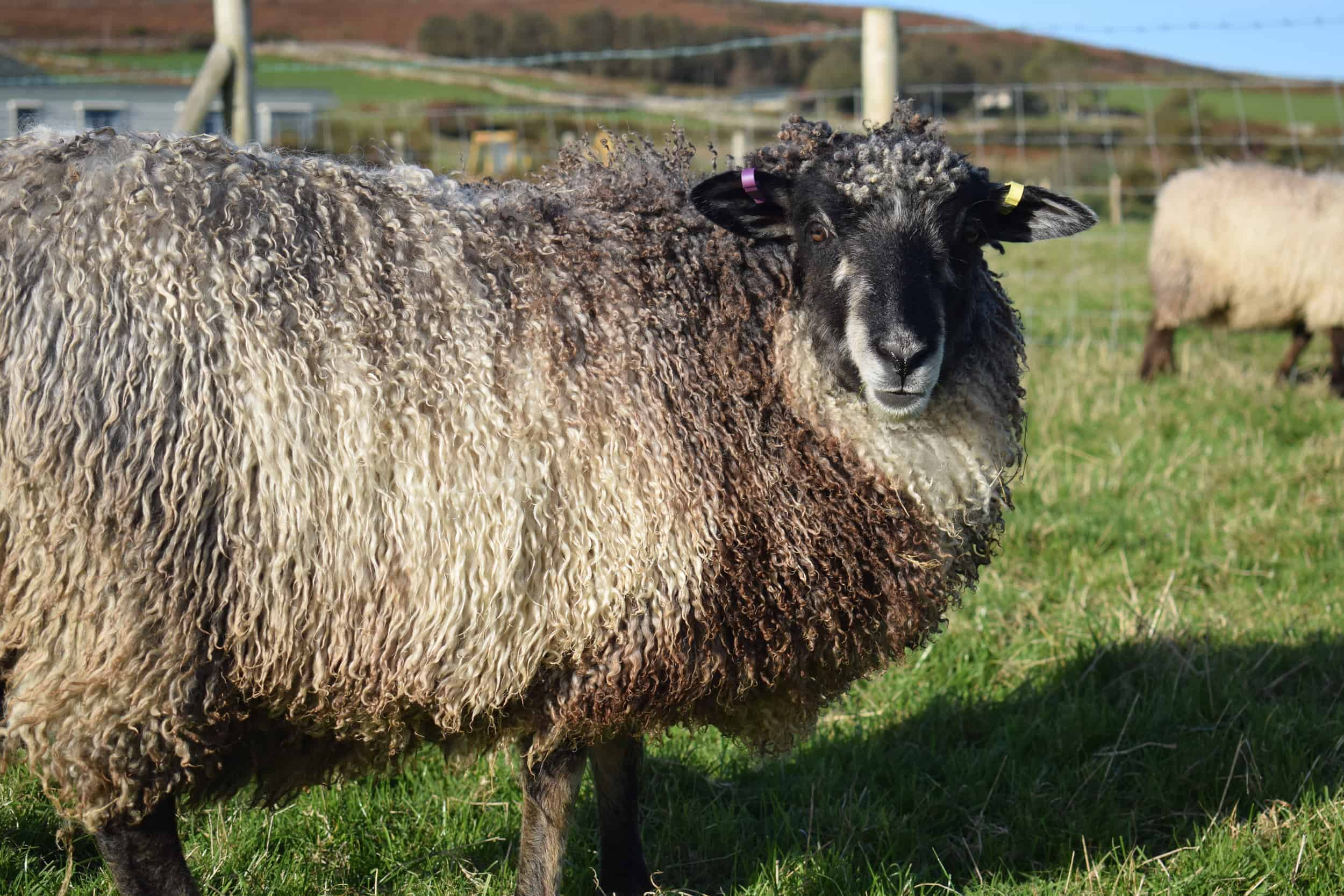 Jemima sheep farm animals coloured leicester longwool gotland sheep shetland ewe lamb kind fibre british wool grey felted fleece