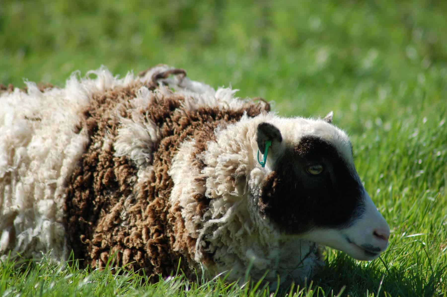 patchwork sheep soay cross shetland spotted sheep Sweep frosted mouflon