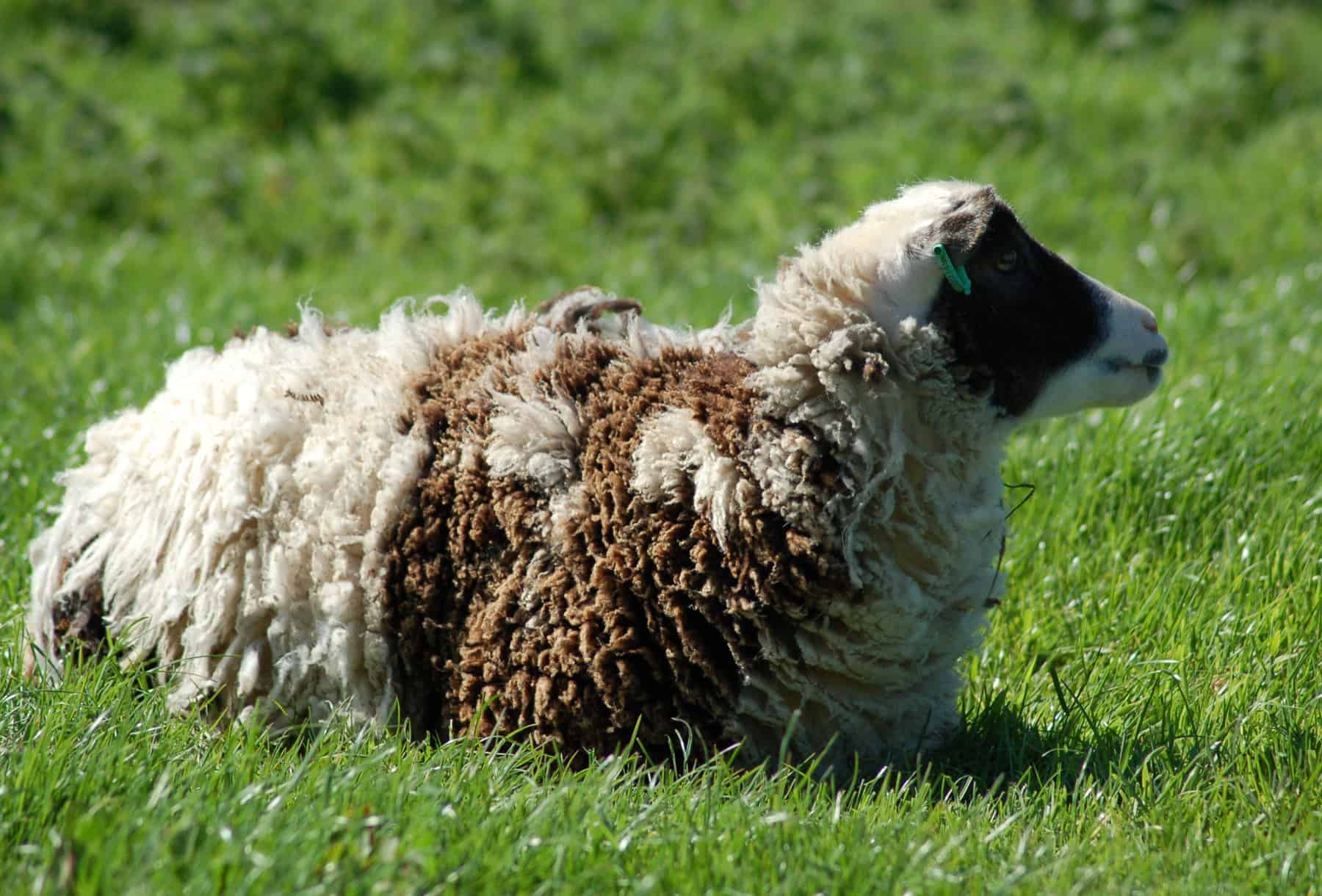 patchwork sheep soay cross shetland spotted sheep Sweep primitive sheep