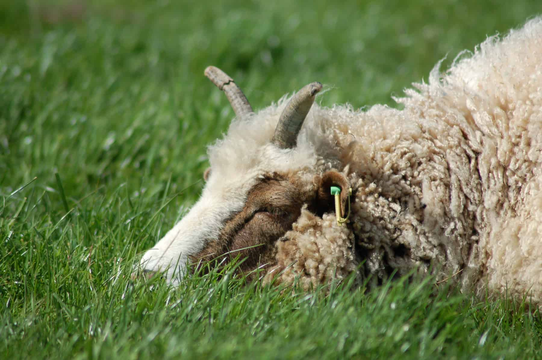 Muffn sleeping patchwork sheep moorit brown spotted jacob sheep shetland sheep
