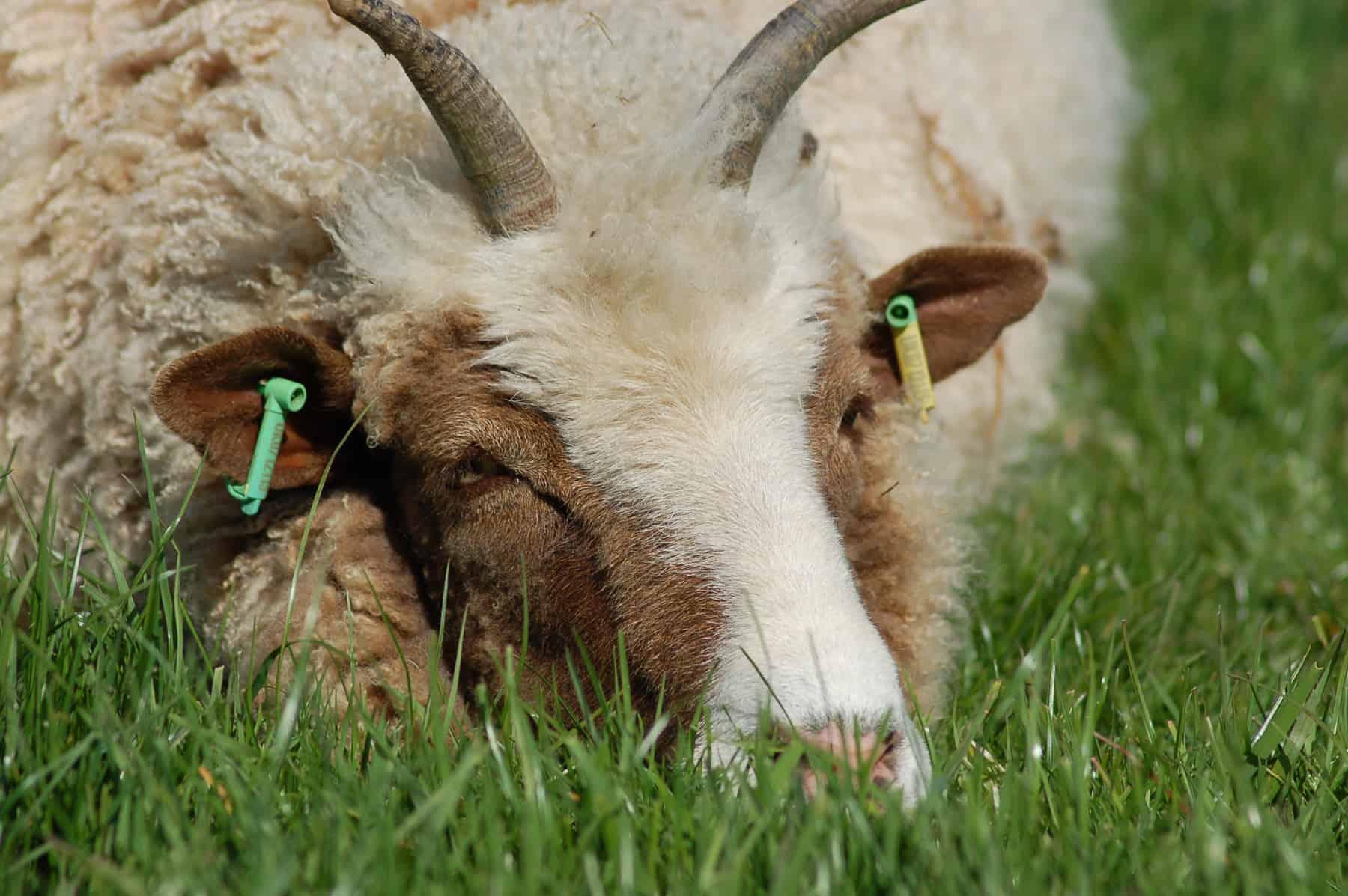 Muffn patchwork sheep moorit brown spotted jacob sheep shetland sheep
