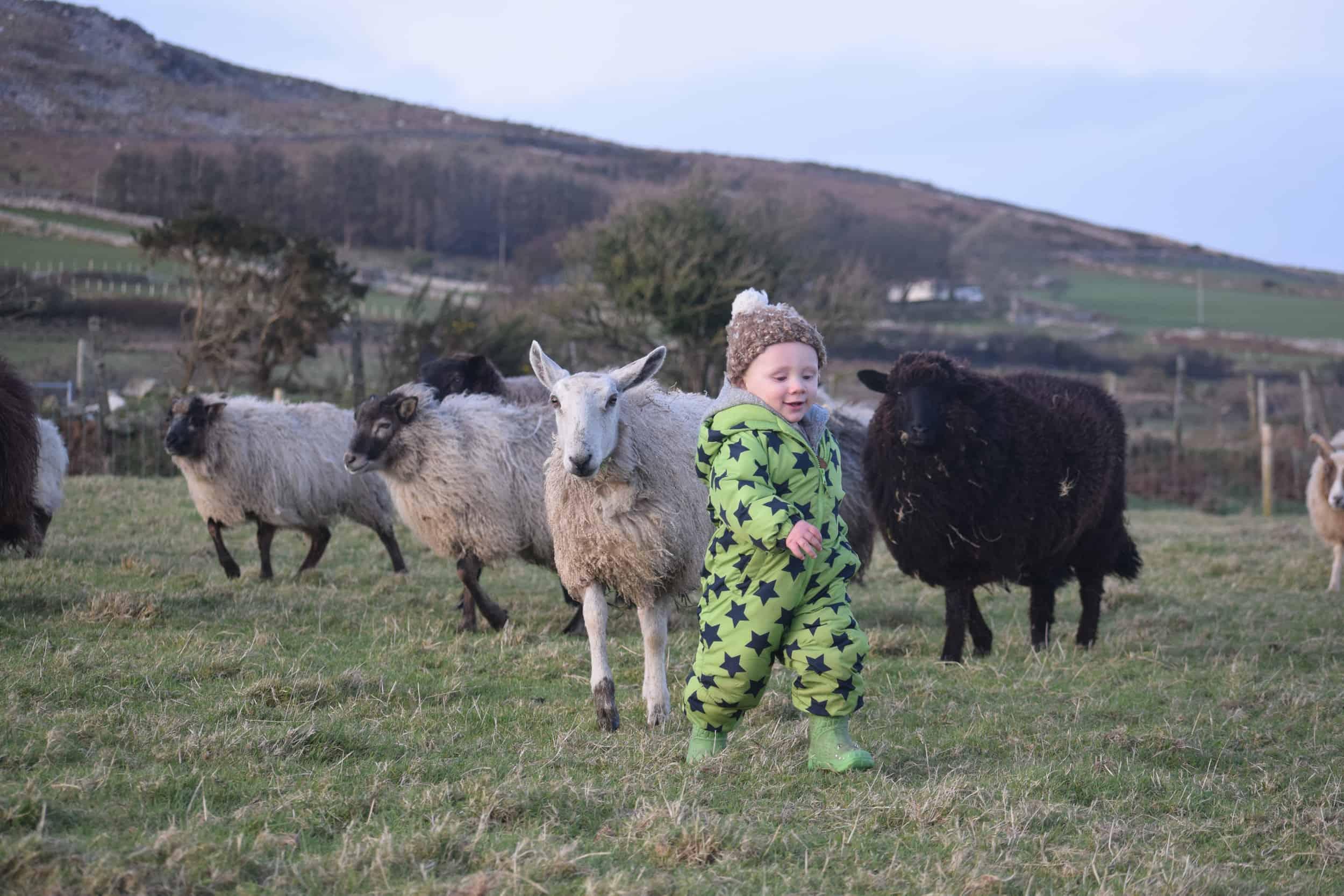 Lily ollie bfl blueface leicester sheep ewe lamb pet bottle baby lamb