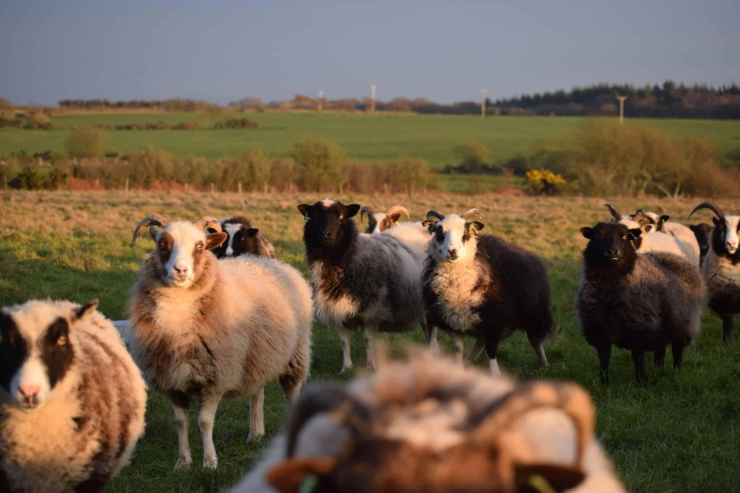 Marth patchwork sheep flock