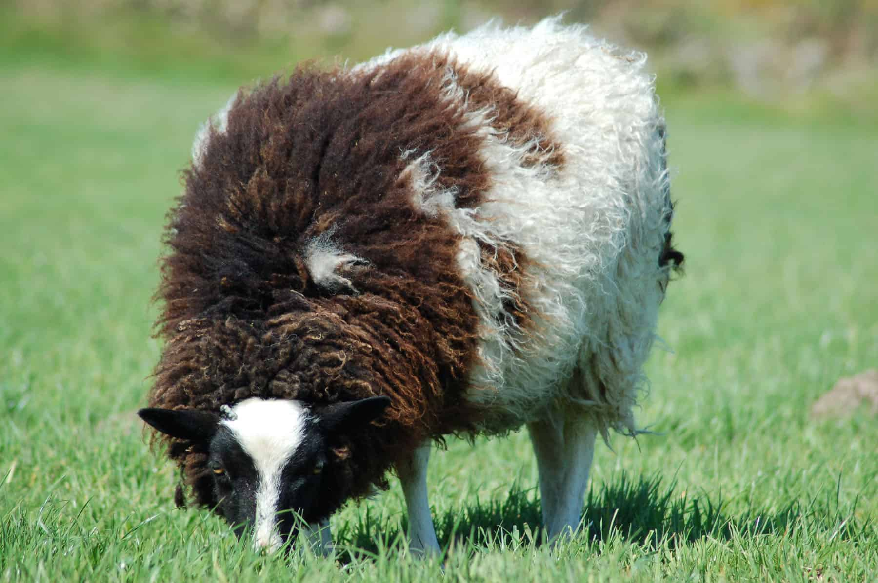 patchwork sheep phlox shearling black white soay shetland jacob cross sheep