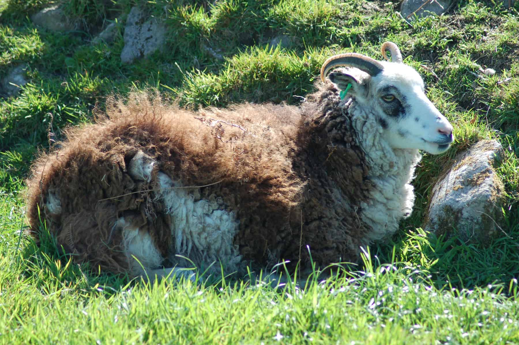 patchwork sheep blossom soay cross shetland sheep primitive sheep