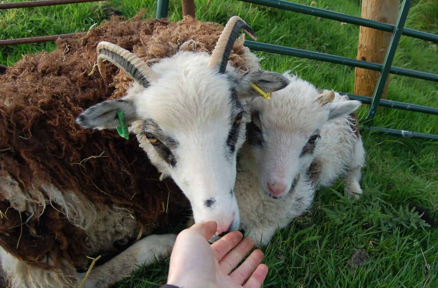 patchwork sheep blossom soay cross shetland sheep and lamb