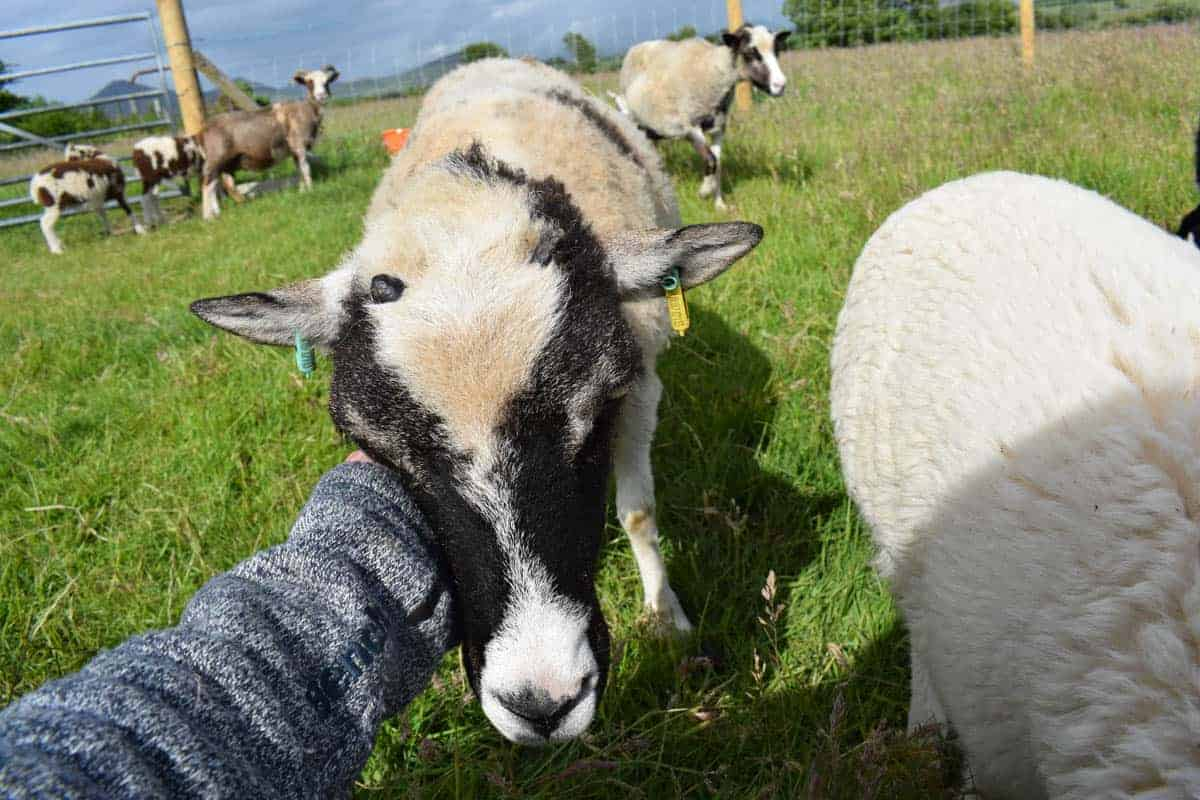 patchwork sheep soay cross shetland spotted ewe Fern sweet