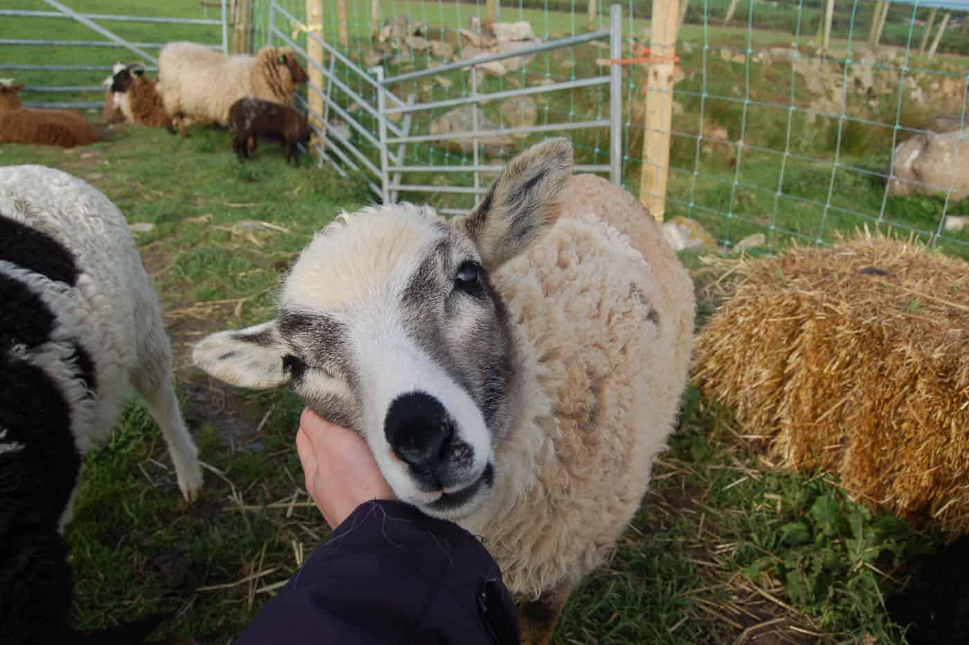 patchwork sheep sweet pet smudge cute lamb golden soay cross shetland jacob sheep