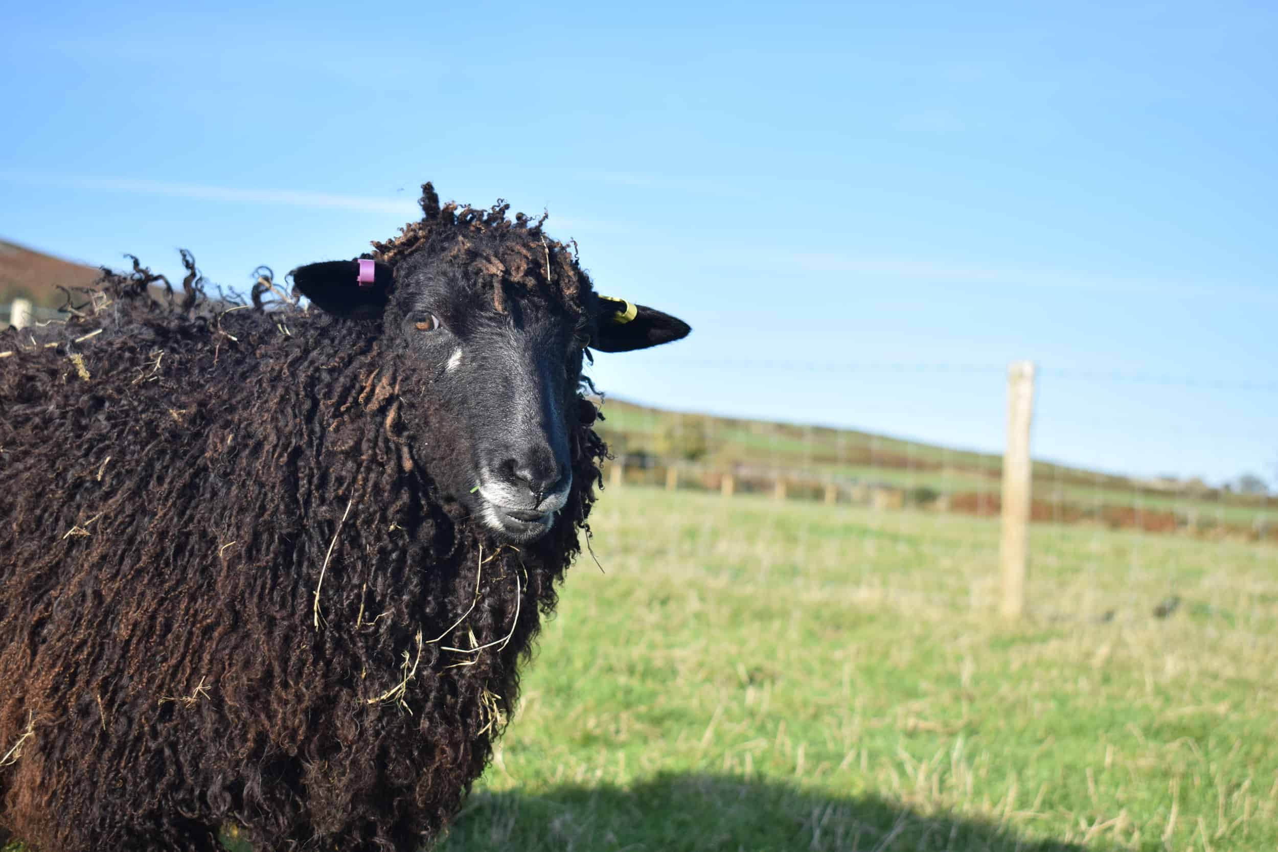 Tatty longwool lamb races coloured leicester longwool shetland gotland sheep ewe lamb kind fibre sheep frendly ethical wool products cross 2