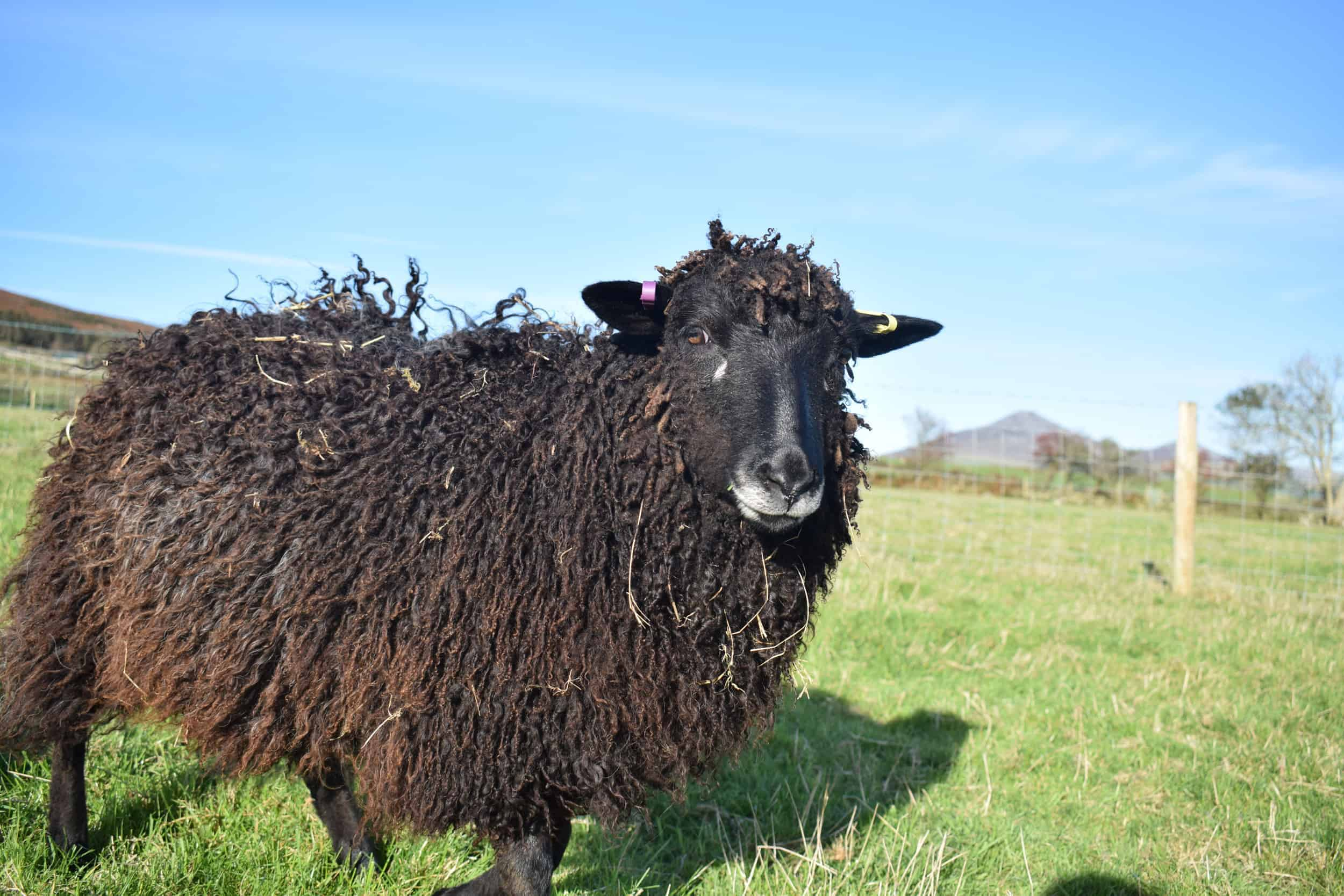 Tatty longwool lamb races coloured leicester longwool shetland gotland sheep ewe lamb kind fibre sheep frendly ethical wool products cross 7