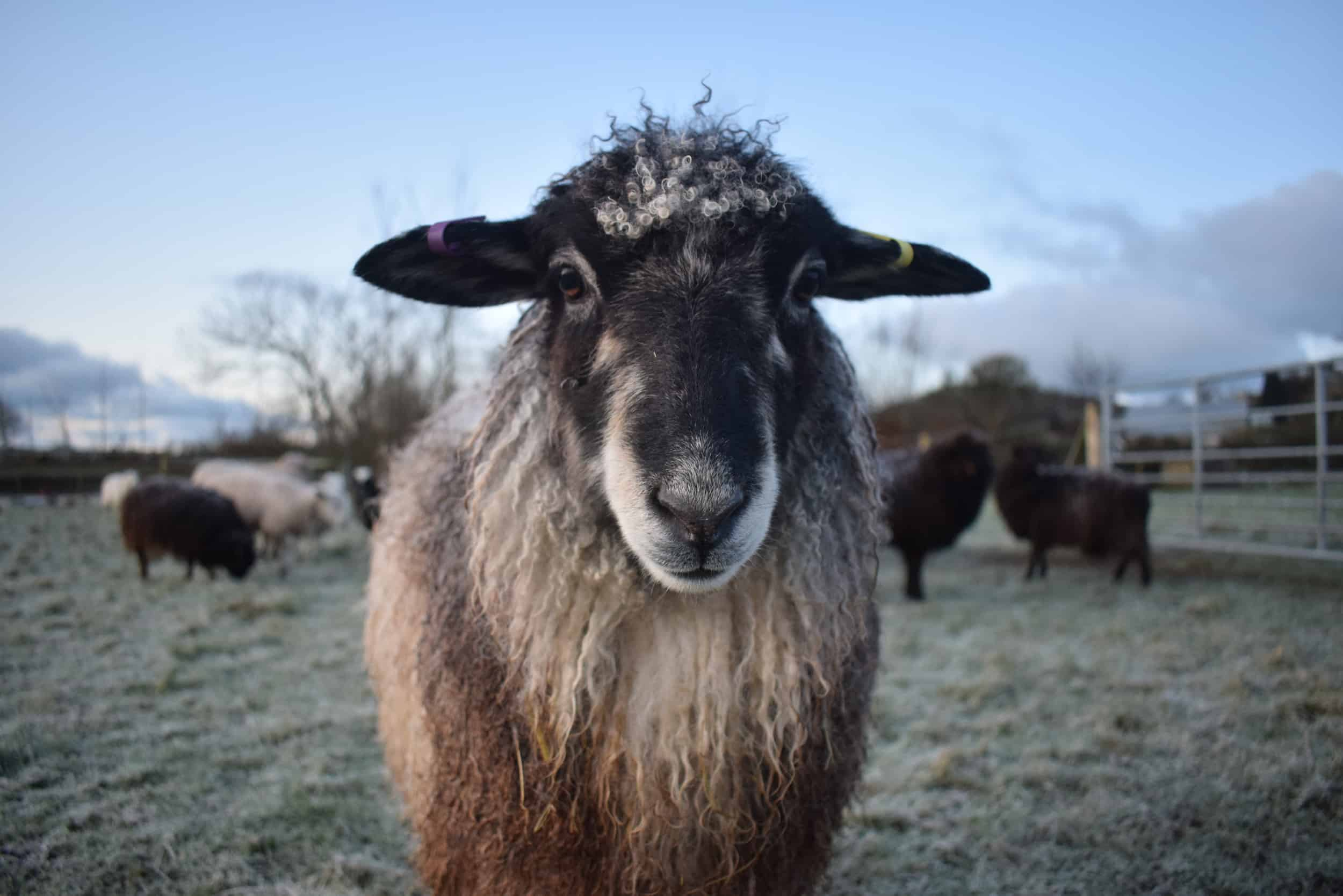 Jemima sheep farm animals coloured leicester longwool gotland sheep shetland ewe lamb kind fibre british wool grey 2