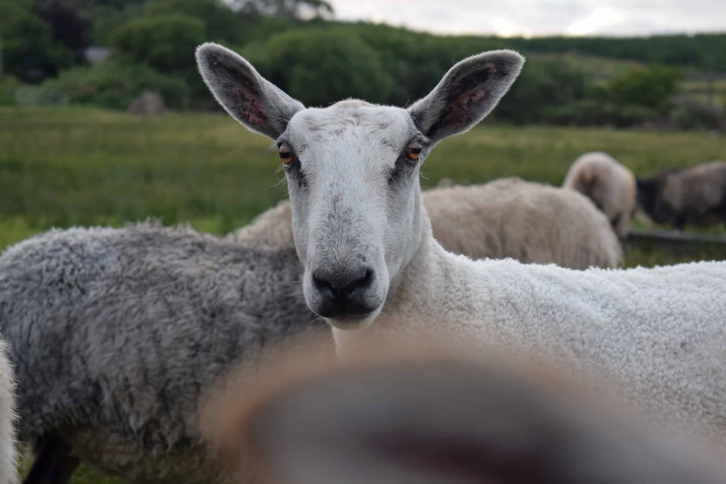 Lily blueface leicester sheep pet sheep