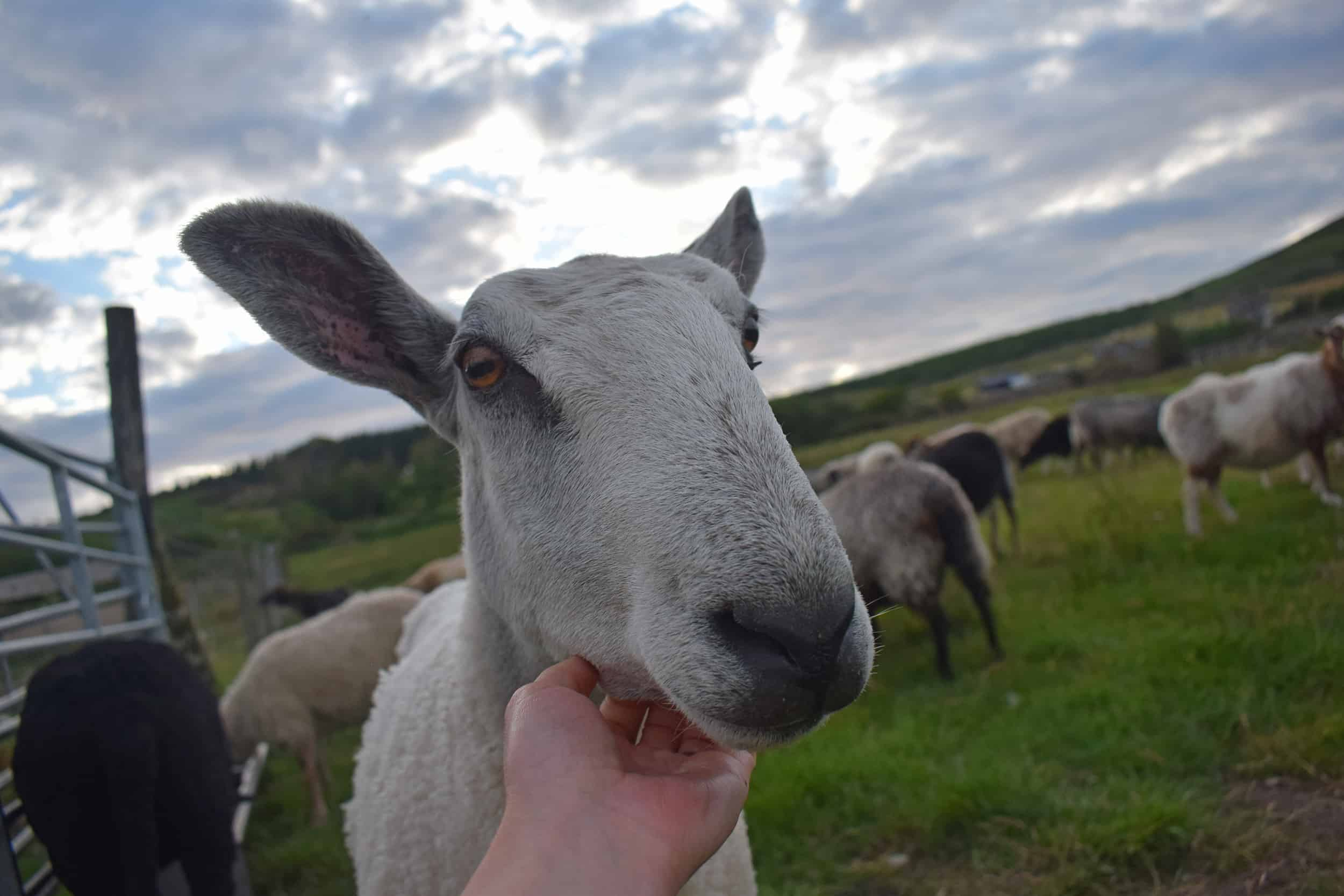 Lily bfl blueface leicester sheep ewe lamb pet bottle yearling shearling
