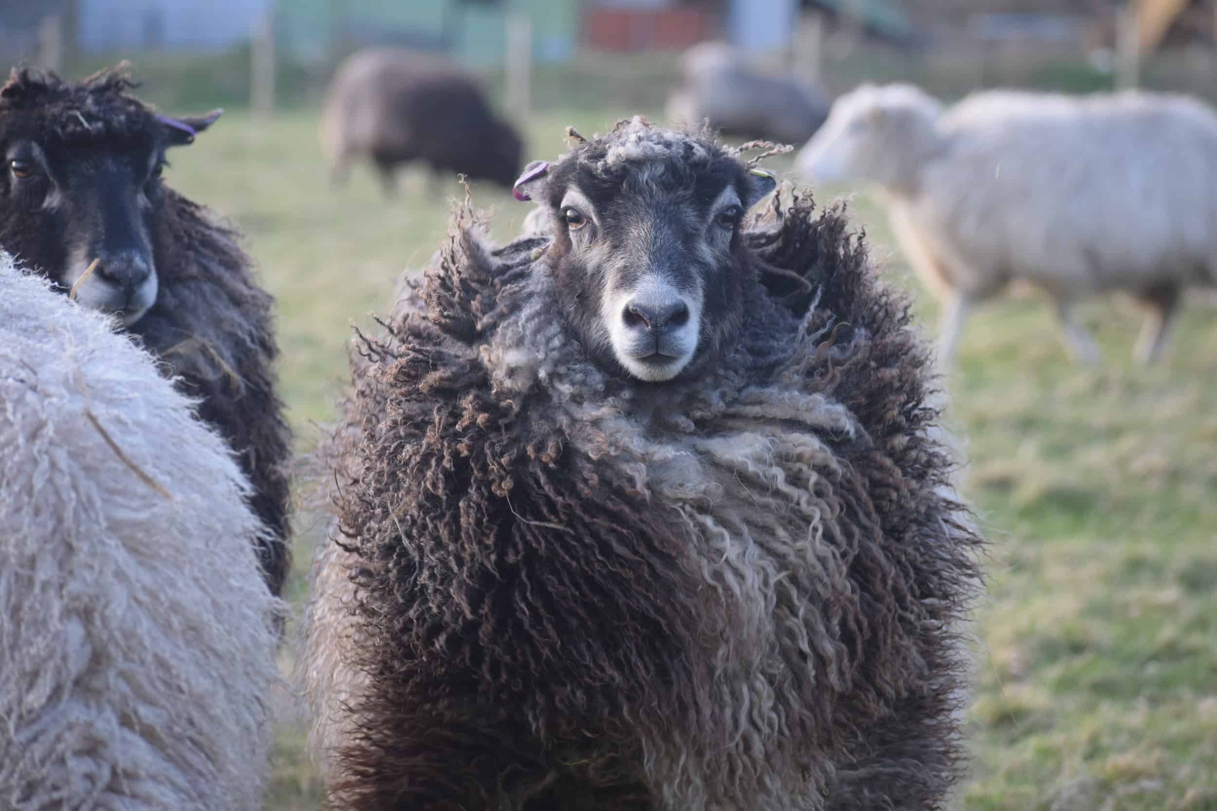 Jemima sheep farm animals coloured leicester longwool gotland sheep shetland ewe lamb kind fibre british wool grey amazing fleeces diva