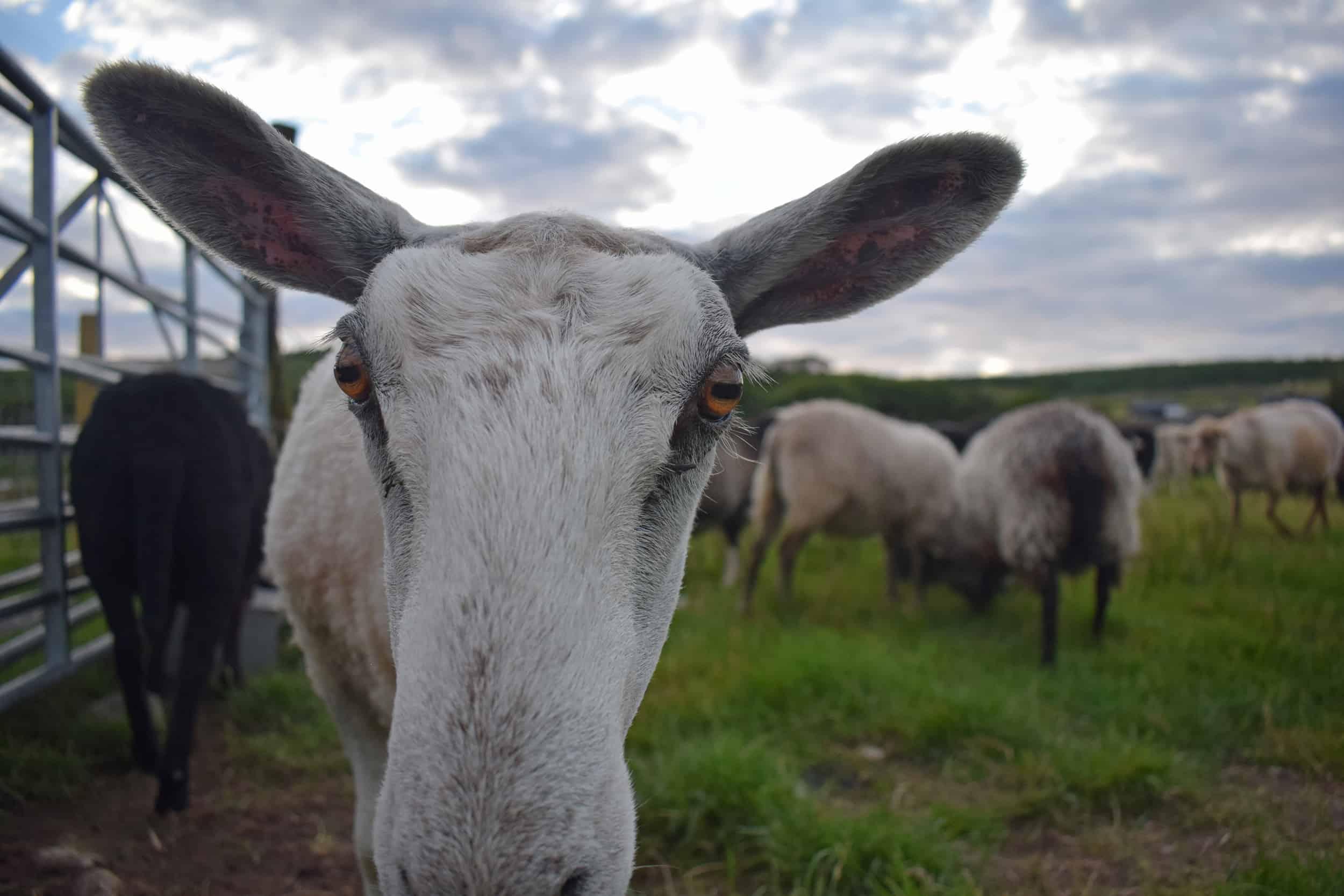 Lily bfl blueface leicester sheep ewe lamb pet bottle baby lamb big ears