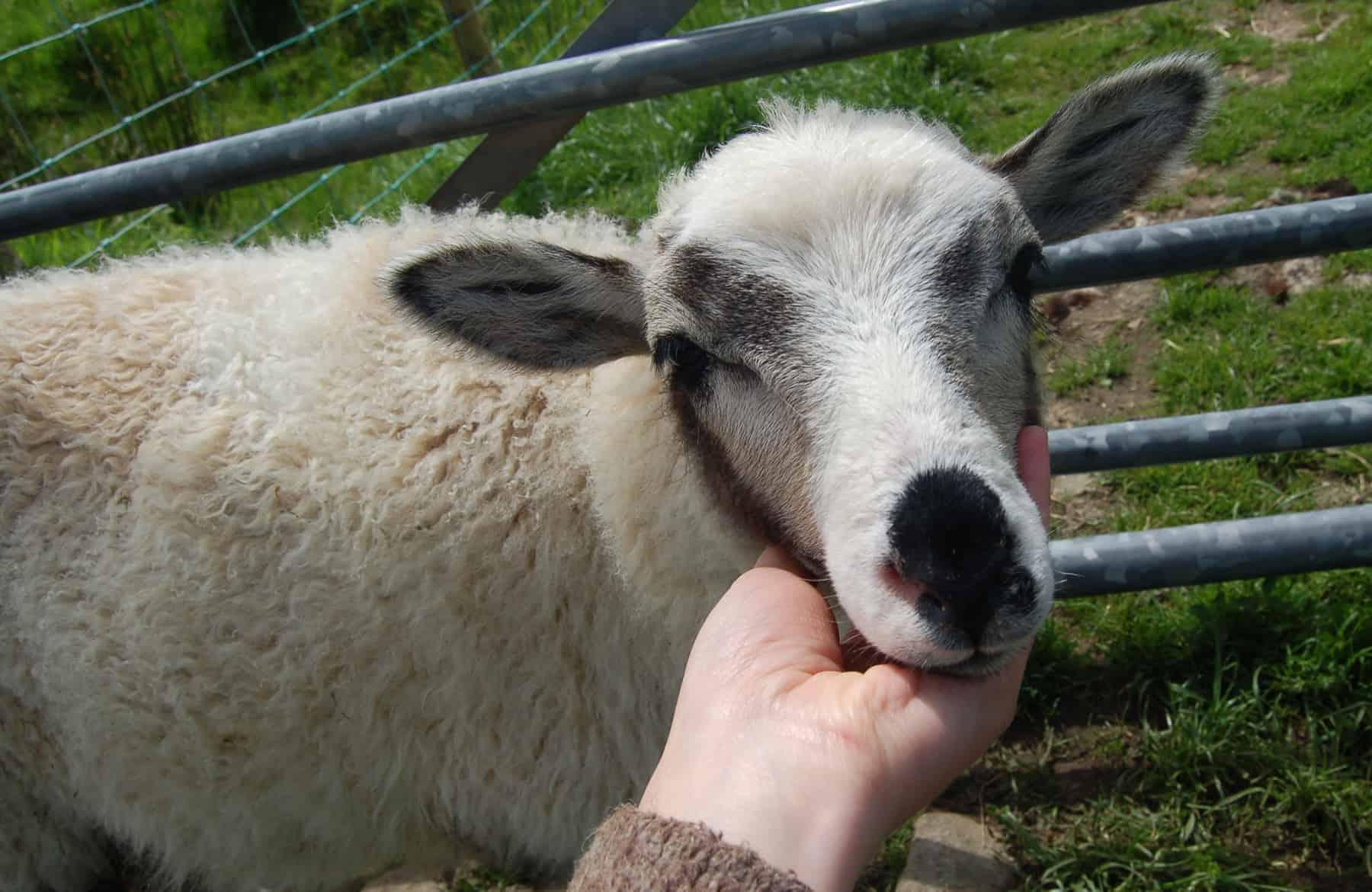 patchwork sheep pet sheepsmudge cute lamb golden soay cross shetland jacob sheep