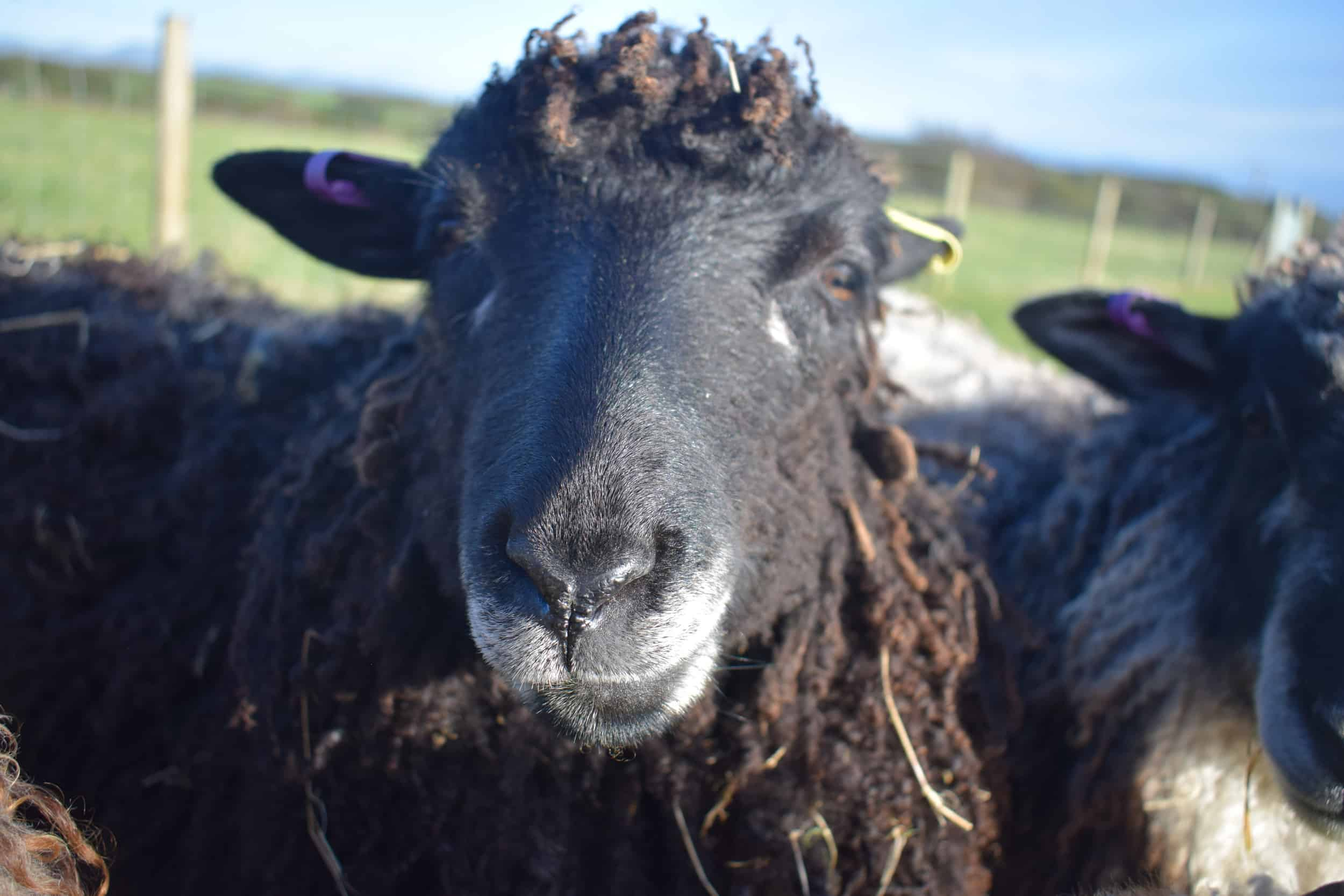 Tatty longwool lamb races coloured leicester longwool shetland gotland sheep ewe lamb kind fibre sheep frendly ethical wool products cross 5