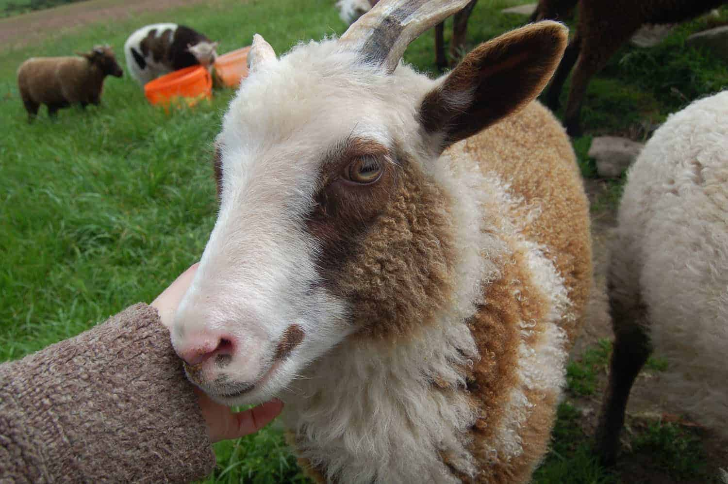 Martha lamb horns patchwork sheep moorit white spotted brown primitive sheep crossbreed