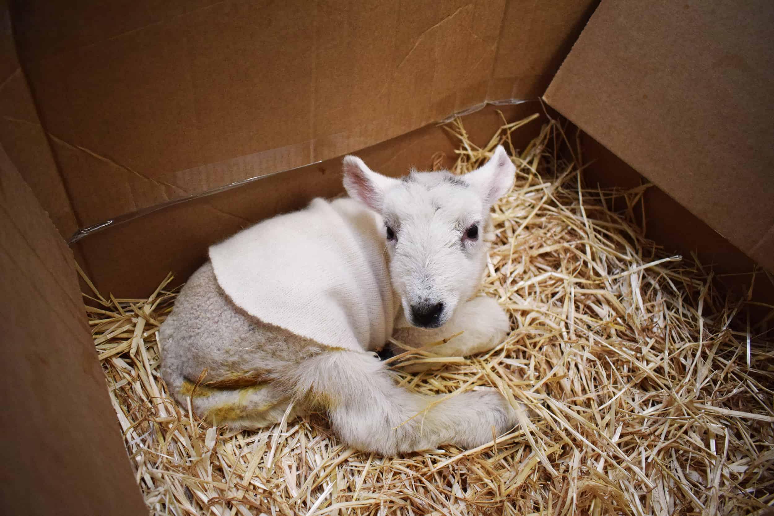 Lily box bfl blueface leicester sheep ewe lamb pet bottle baby lamb