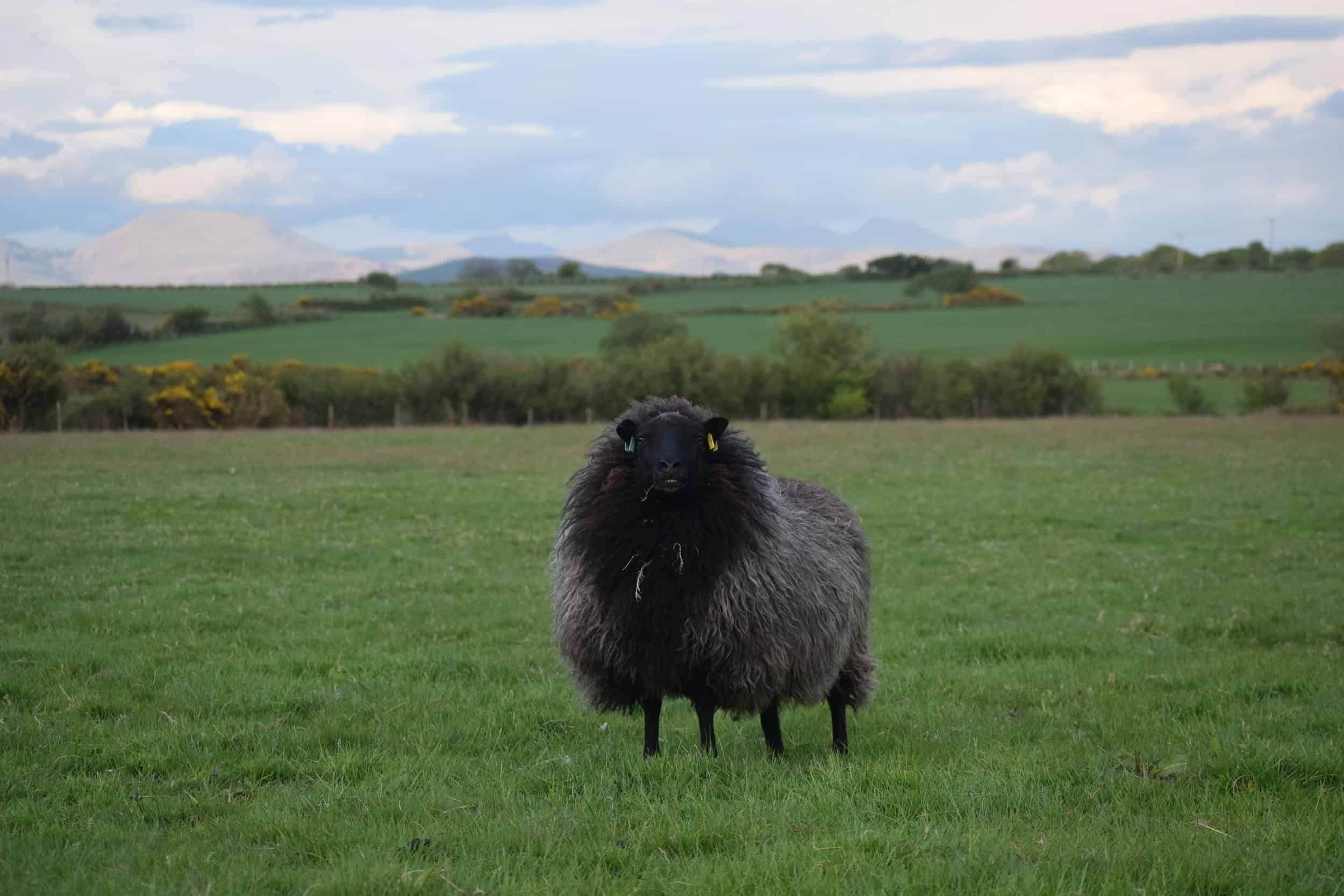 Gem black welsh mountain jacob shetland cross sheeo wild hairy black beauty 3