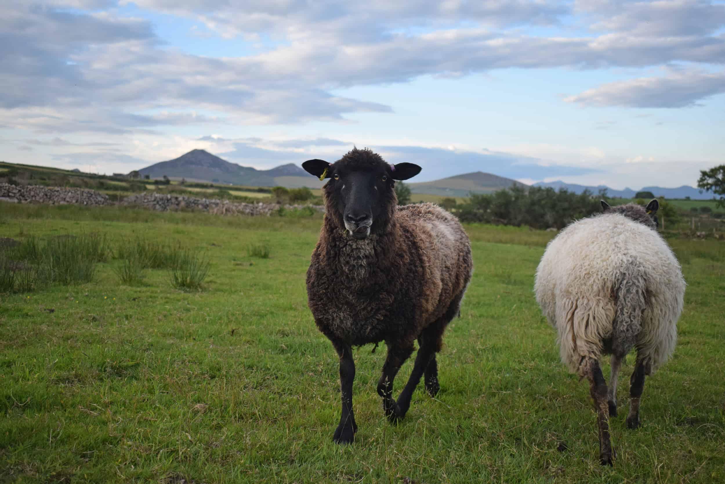 Jasmine coloured leicester longwool cross gotland shetland shearling ewe
