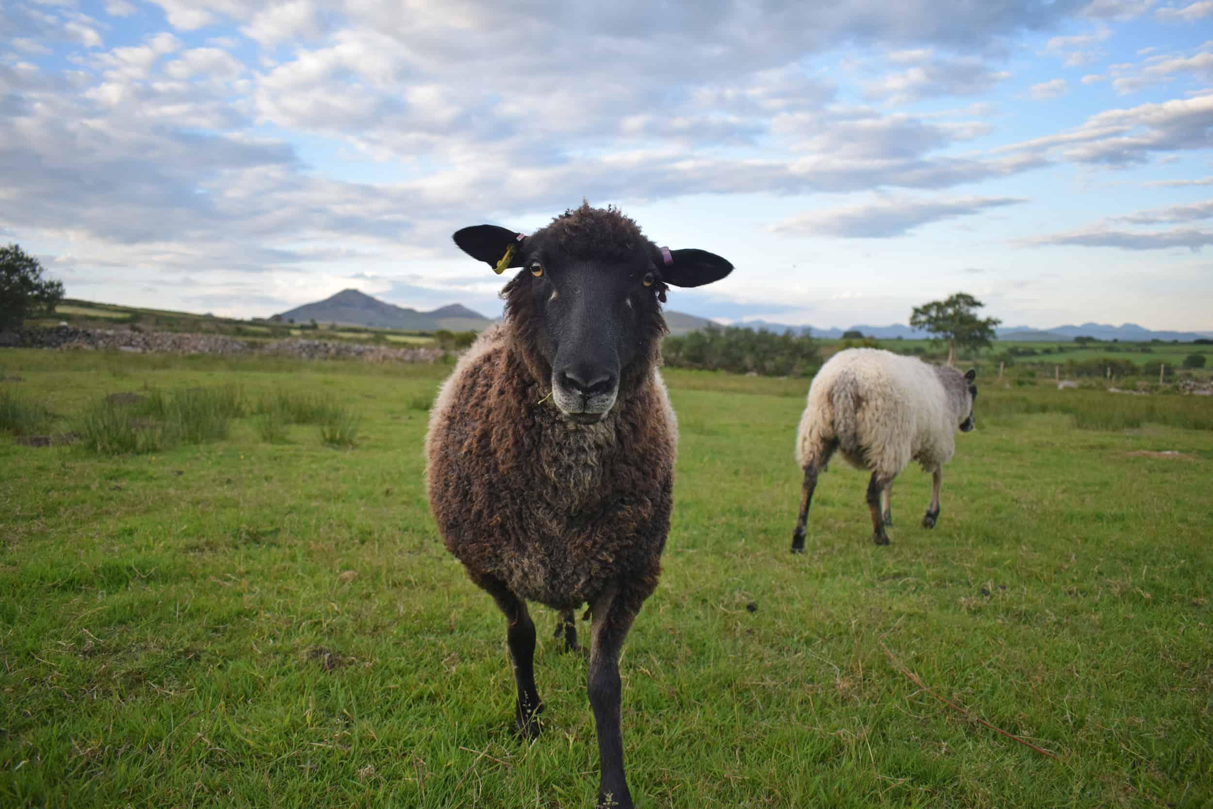 Jasmine coloured leicester longwool cross gotland shetland shearling ewe sustainable sheep