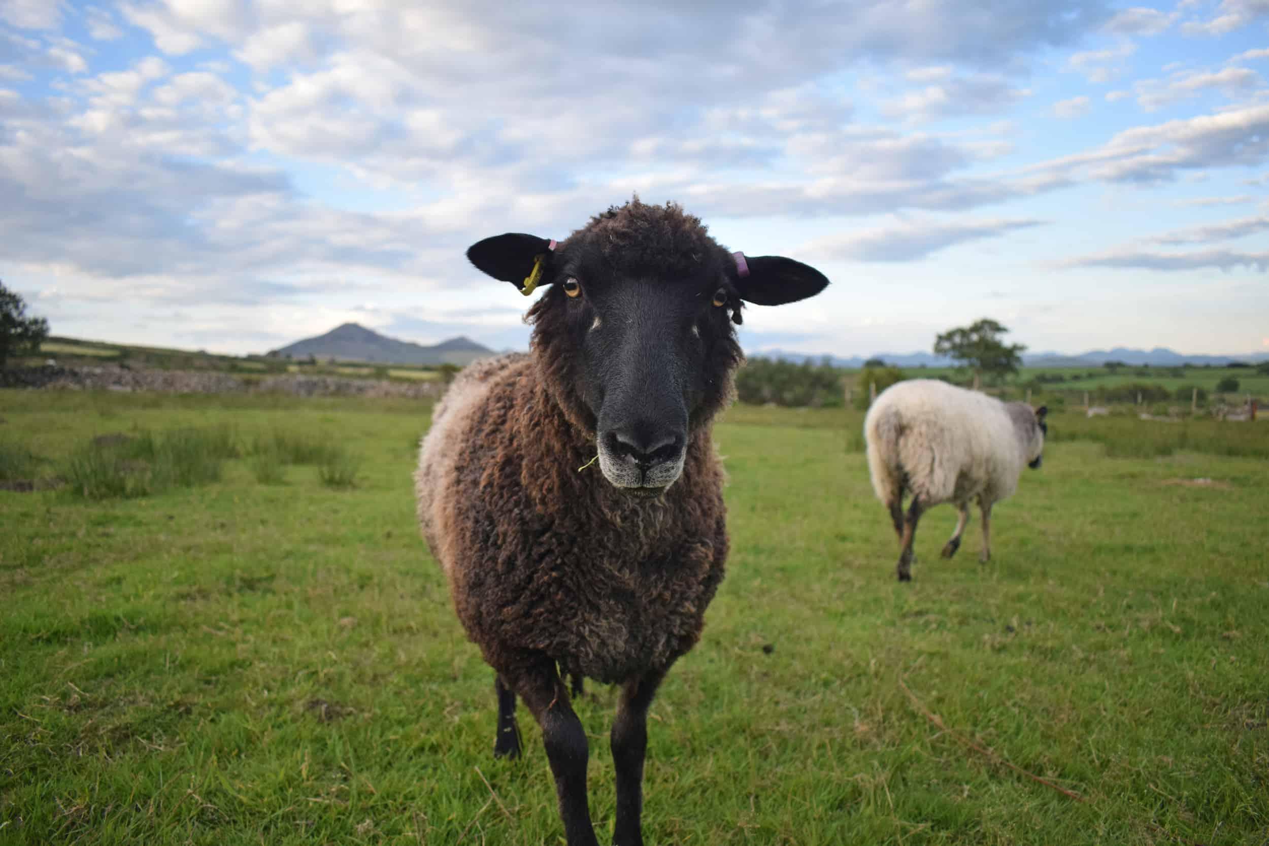 Jasmine coloured leicester longwool cross gotland shetland shearling ewe living rugs