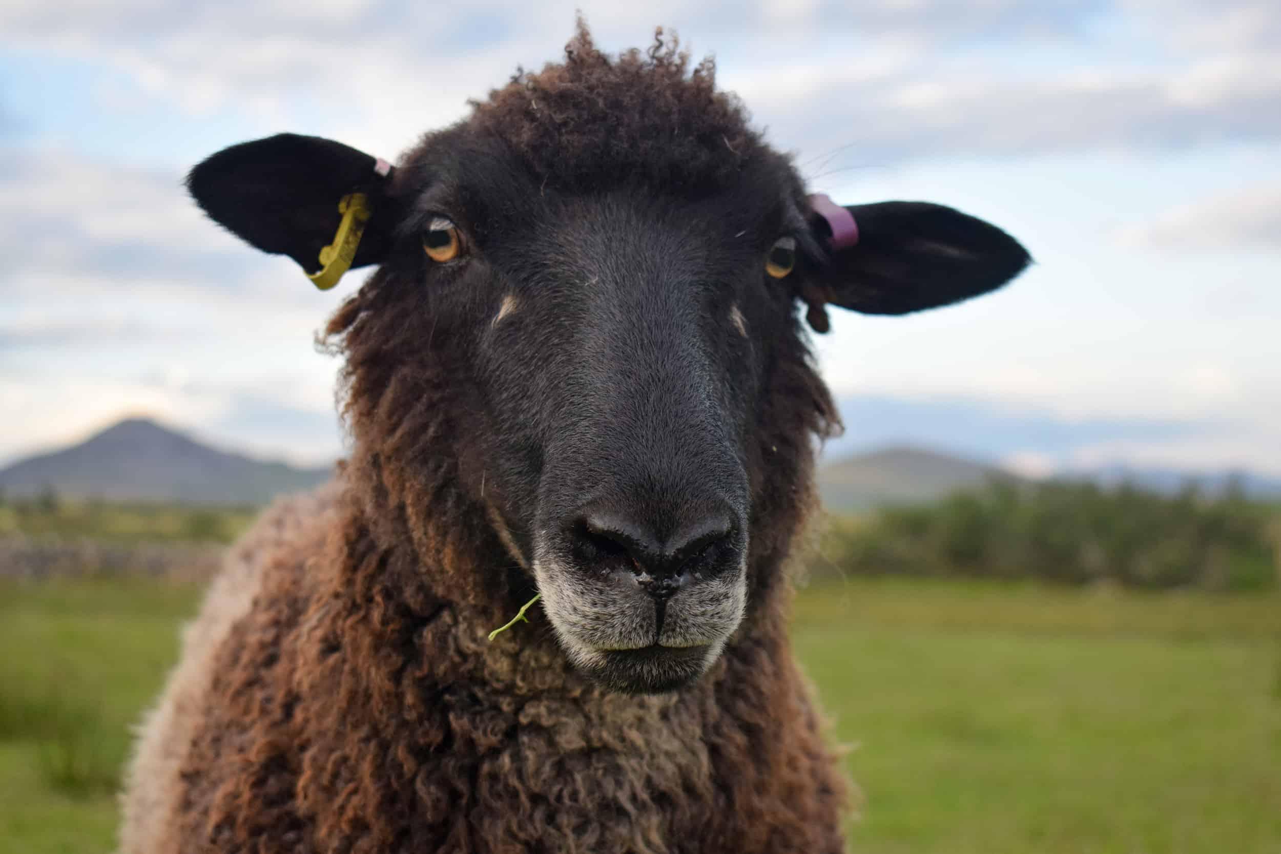 Jasmine coloured leicester longwool cross gotland shetland shearling ewe patchwork sheep