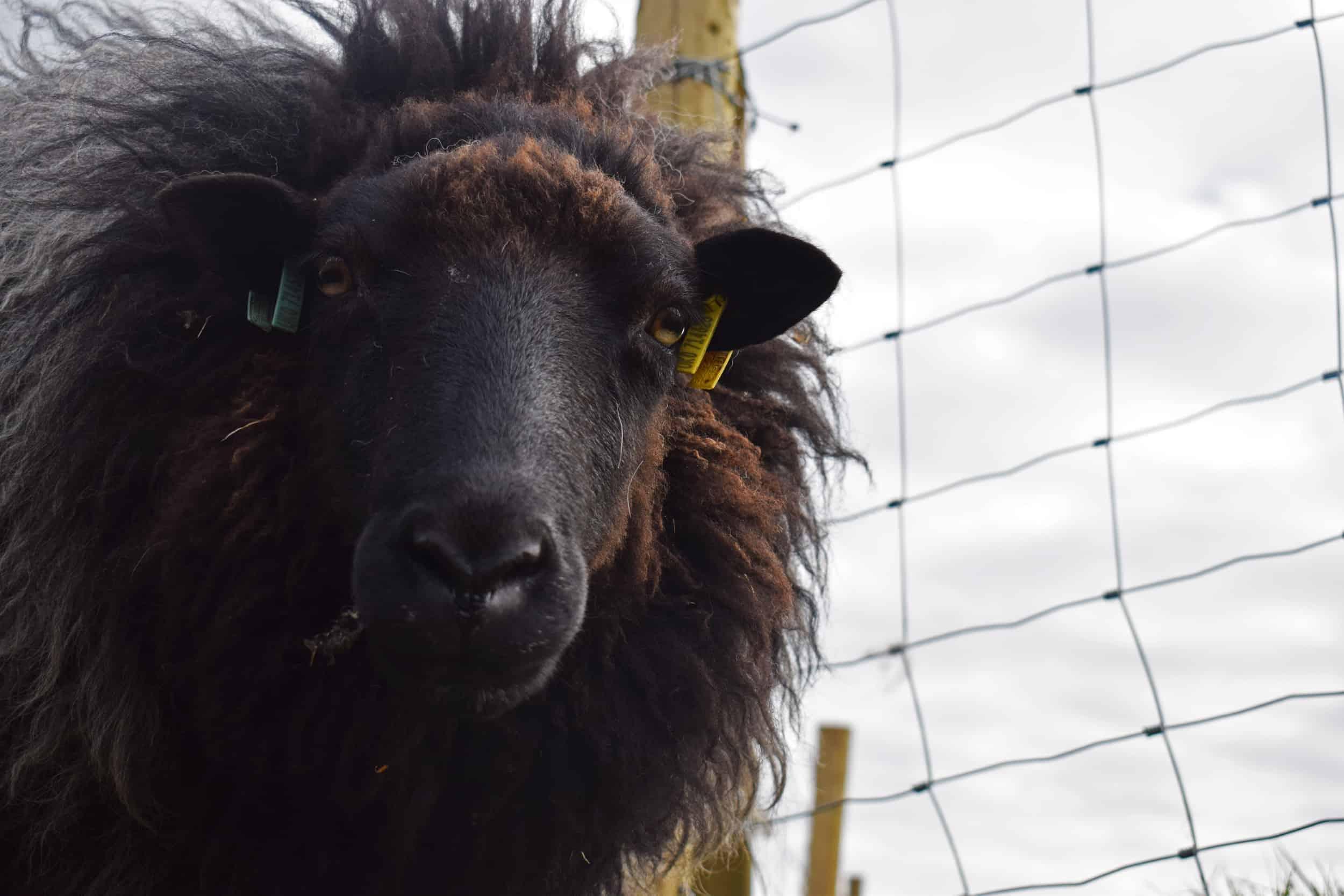 Gem black welsh mountain jacob shetland cross sheeo wild hairy black beauty