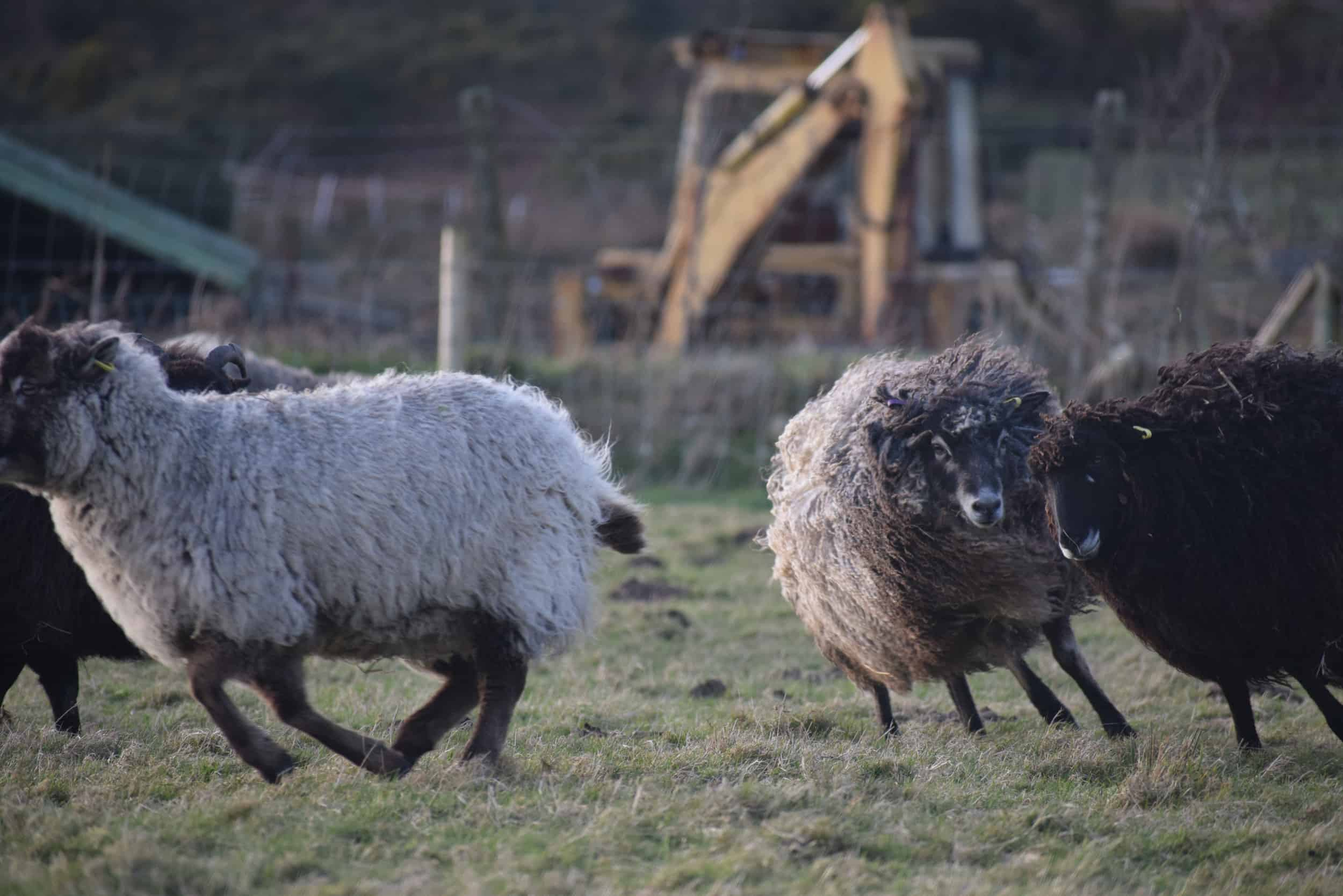 Tatty lamb races coloured leicester longwool shetland gotland sheep ewe lamb kind fibre sheep frendly ethical wool products cross