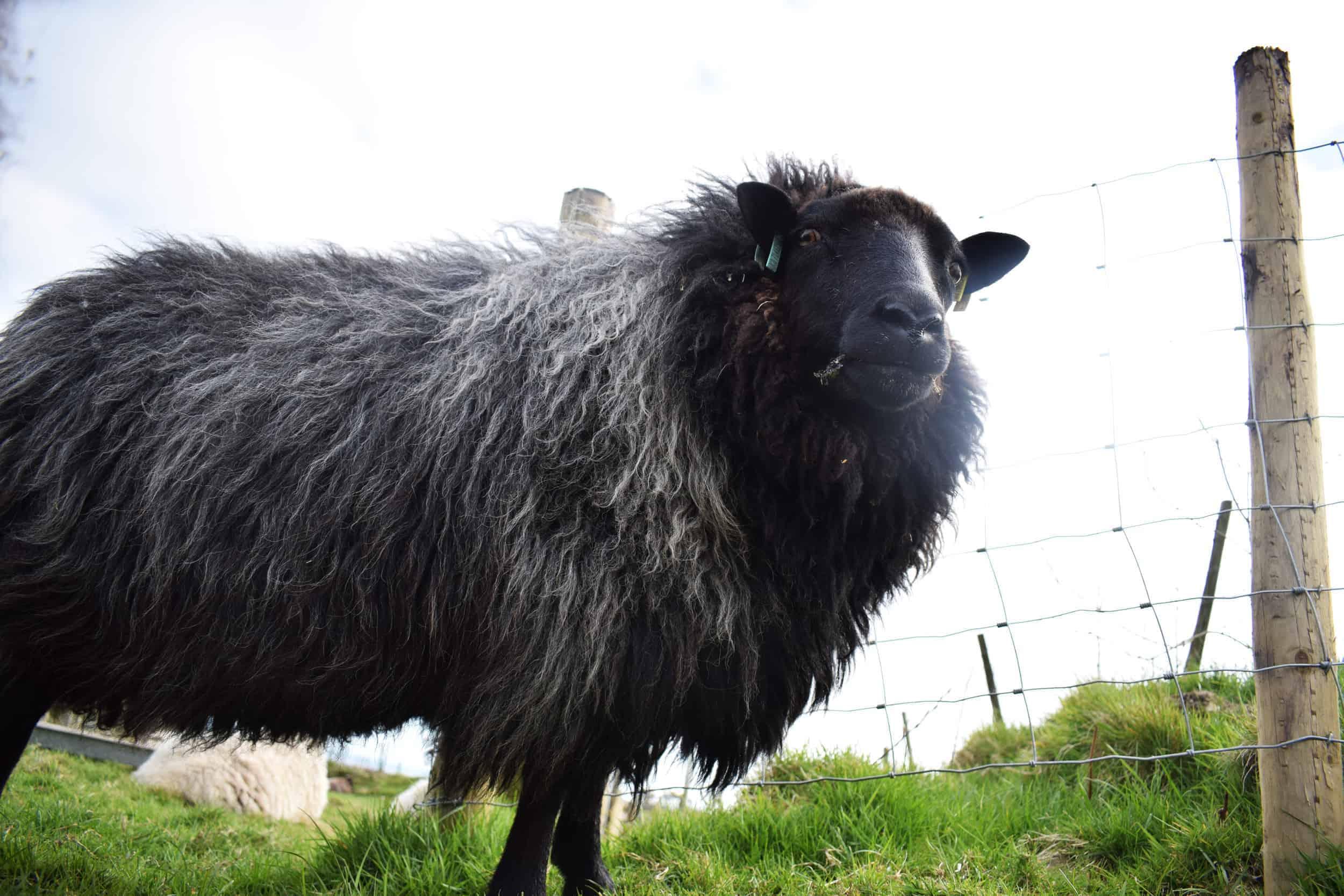 Gem black welsh mountain jacob shetland cross sheeo wild hairy black beauty 4