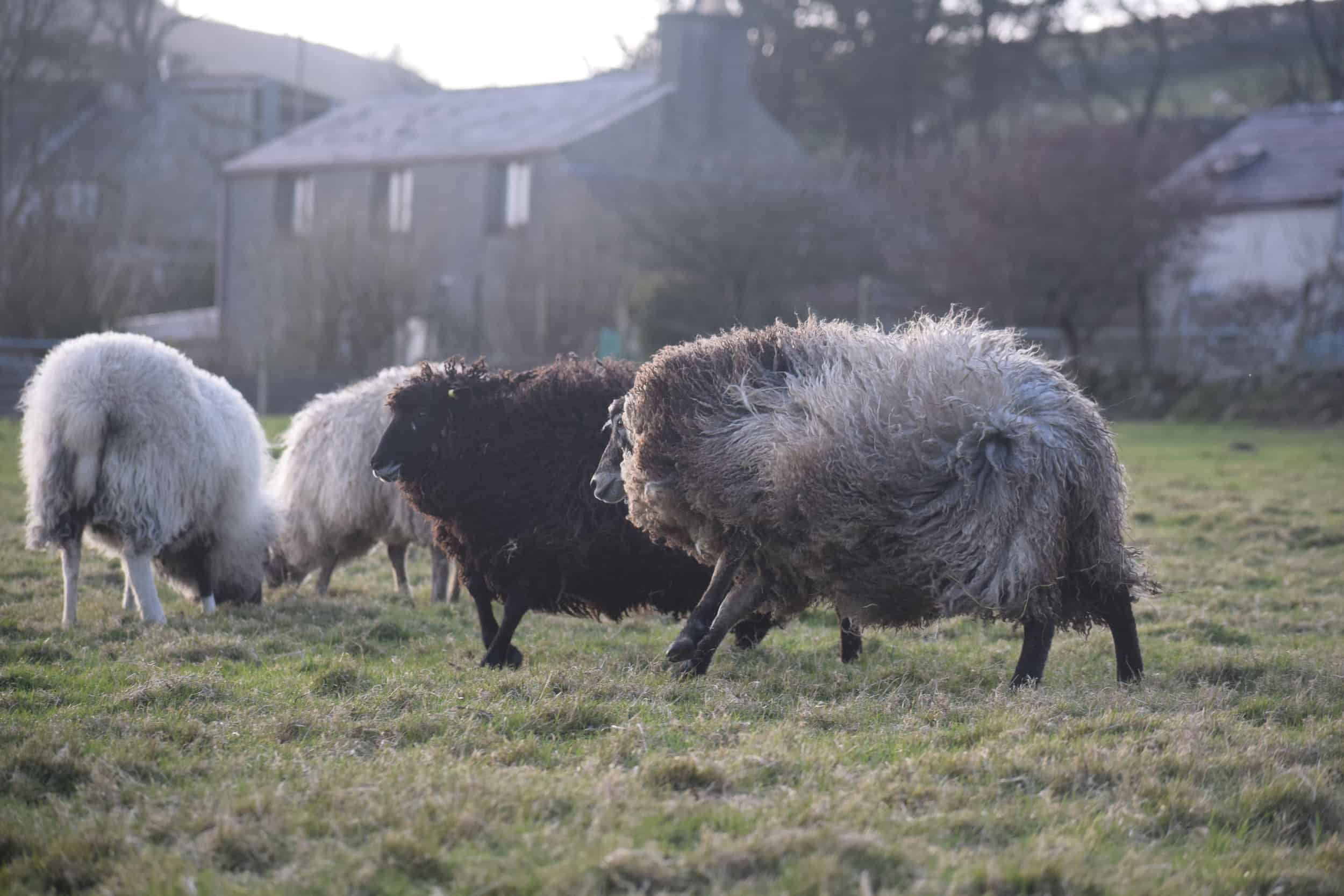 Tatty lamb races coloured leicester longwool shetland gotland sheep ewe lamb kind fibre sheep frendly ethical wool products cross  2