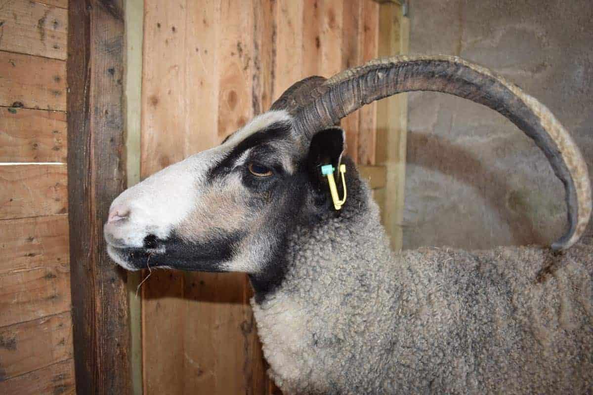 poppy horned sheep