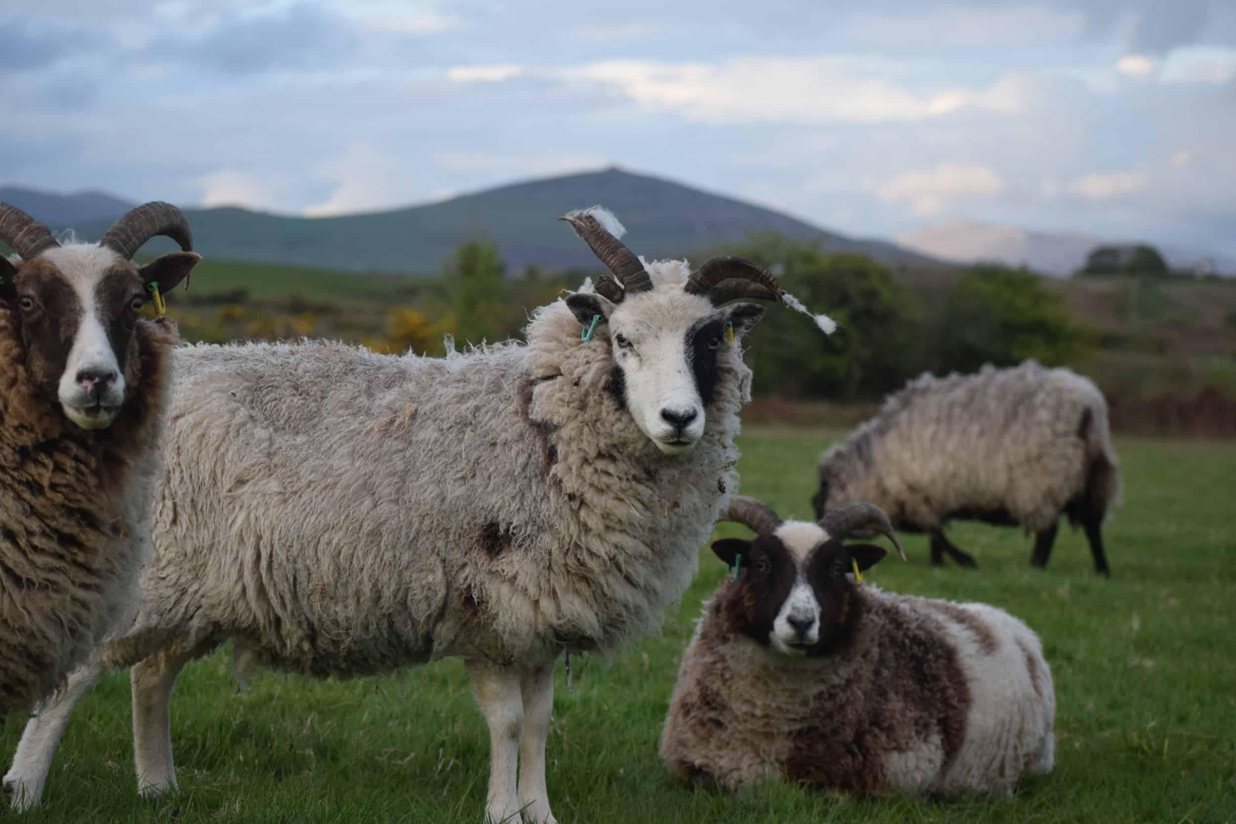 Patch soay cross jacob sheep miniature patchwork sheep 3