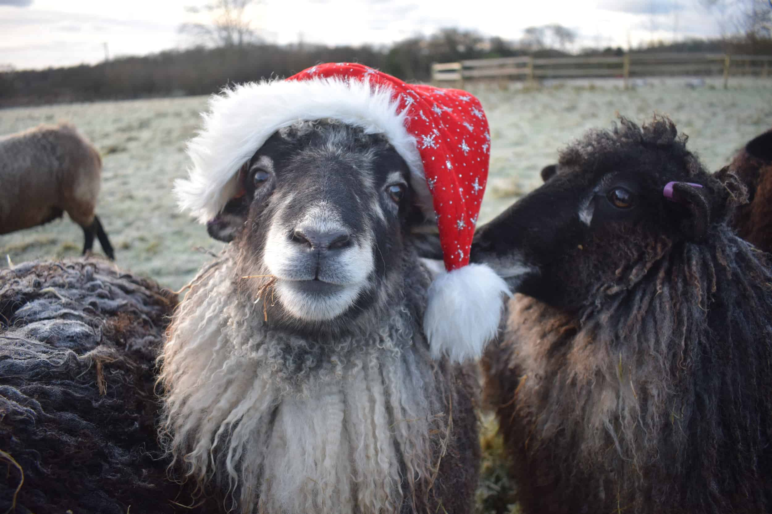 Jemima sheep santa hat christmas farm animals coloured leicester longwool gotland sheep shetland 3