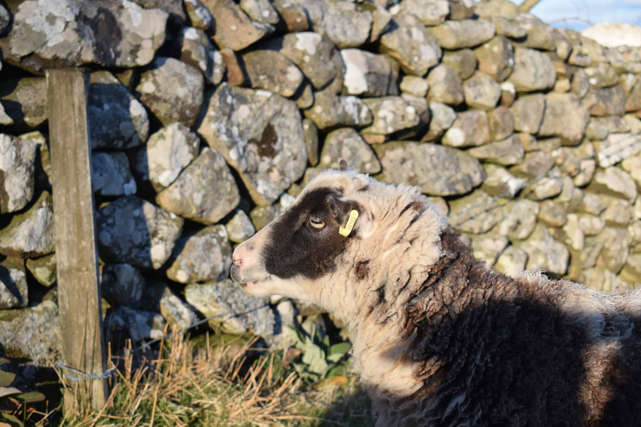 patchwork sheep soay cross shetland spotted sheep Sweep wales welsh wool