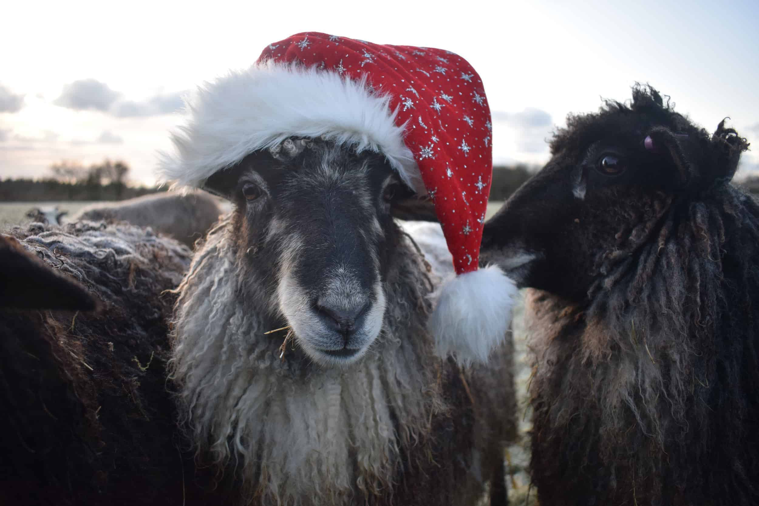 Jemima sheep santa hat christmas farm animals coloured leicester longwool gotland sheep shetland