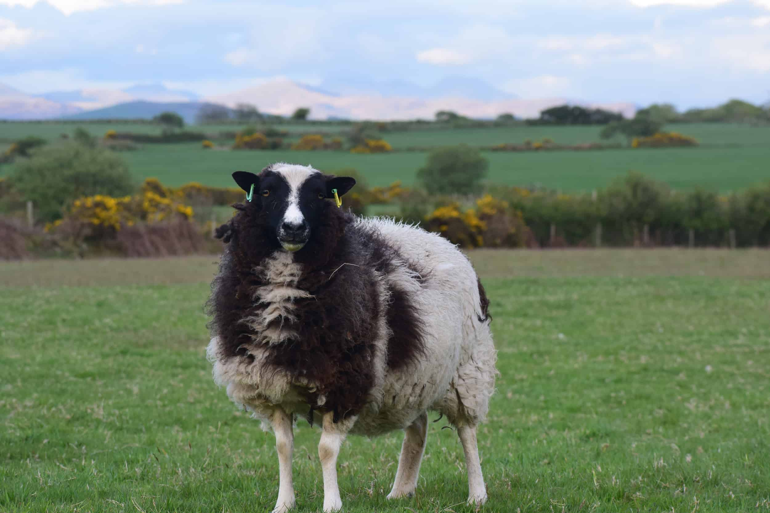 patchwork sheep phlox ewe black white soay shetland jacob cross sheep