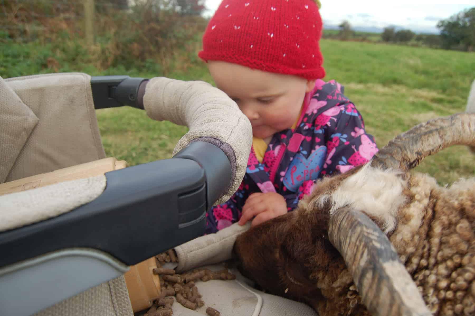 Harriet moorit brown sheep jacob cross shetland pet sheep