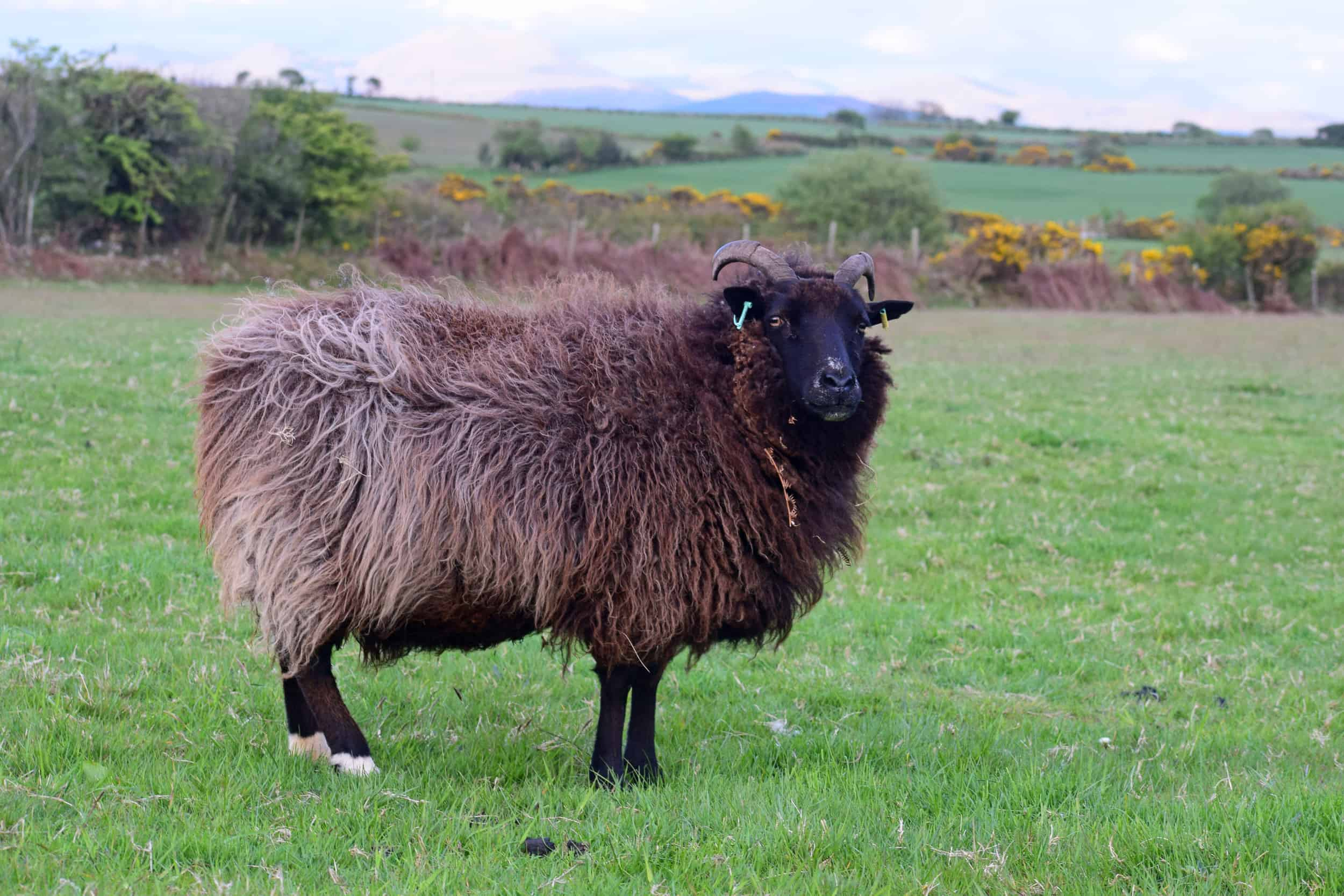 Magic hairy sheep jacob cross shetland magical patchwork sheep