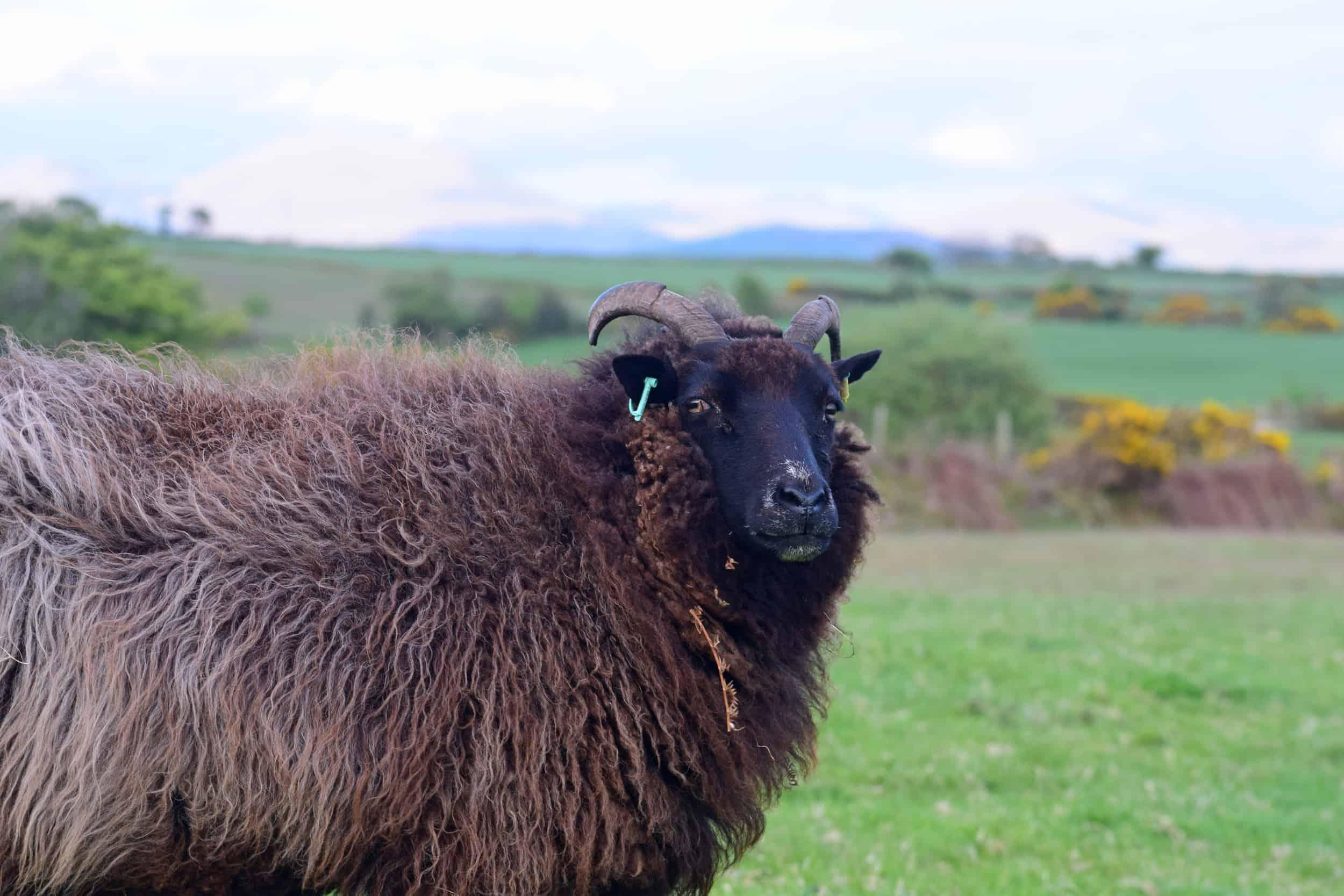 Magic pet sheep jacob cross shetland magical patchwork sheep