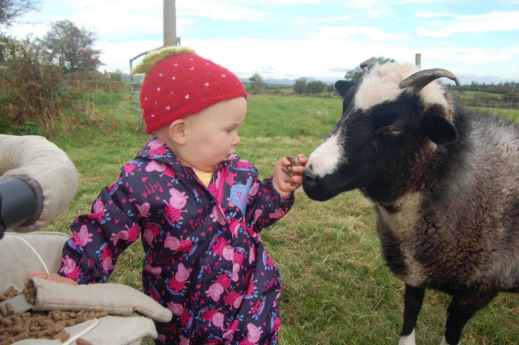 Holly pet lamb sheep jacob cross shetland spotted black grey white wales gwynedd kids farm life 2