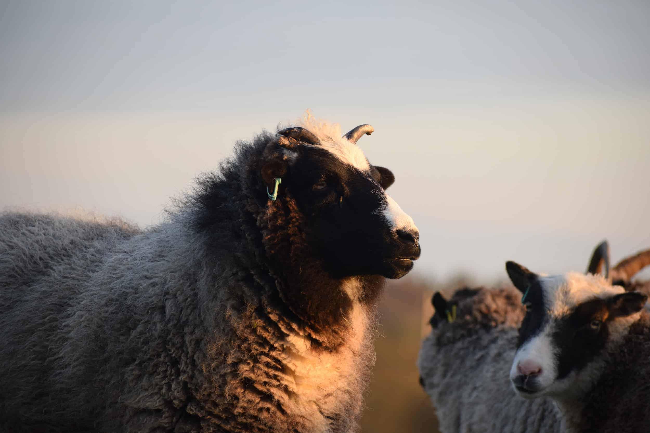 Holly sunset pet lamb sheep jacob cross shetland spotted black grey white wales gwynedd british wool gifts homeware