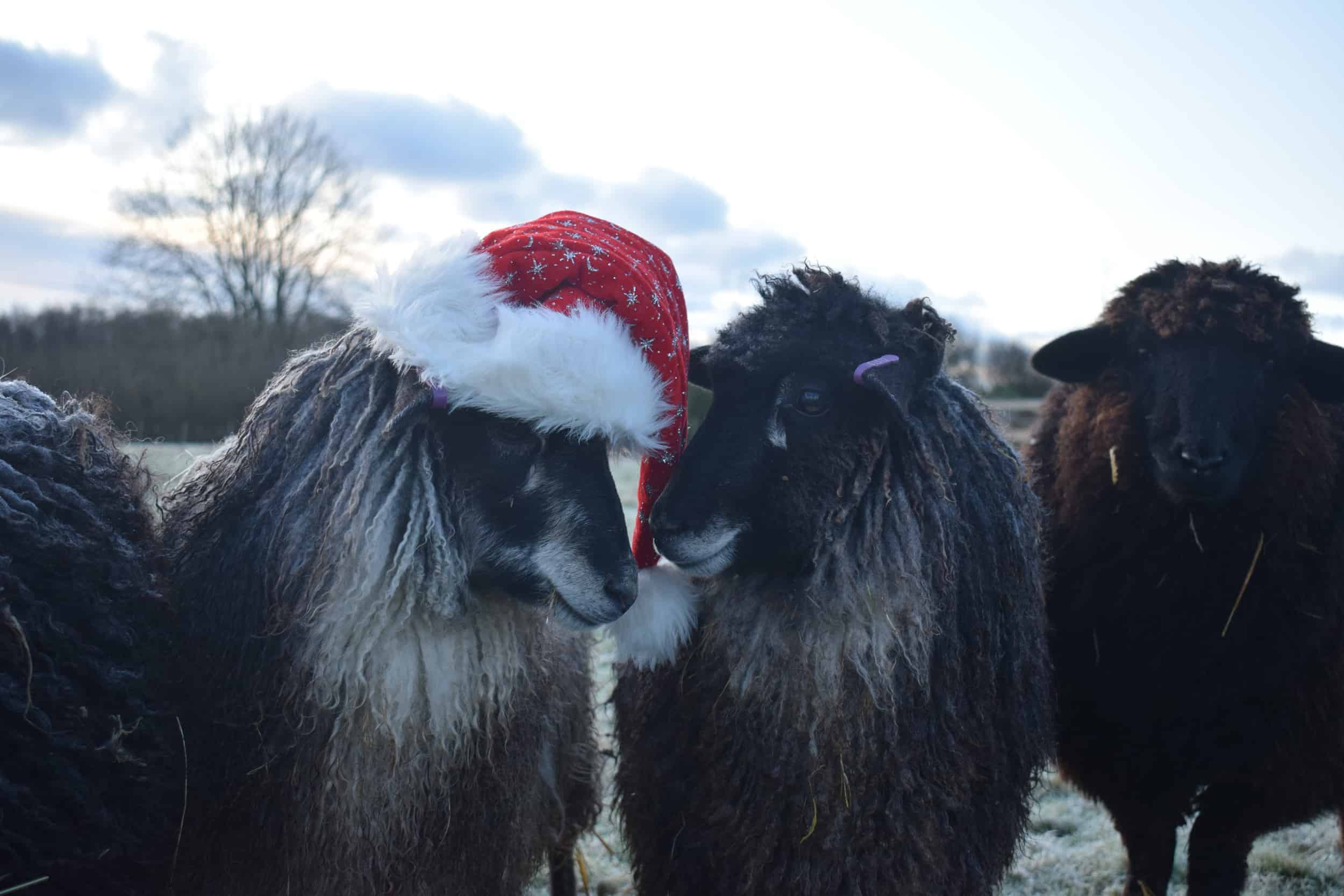 Jemima sheep santa hat christmas farm animals coloured leicester longwool gotland sheep shetland 4