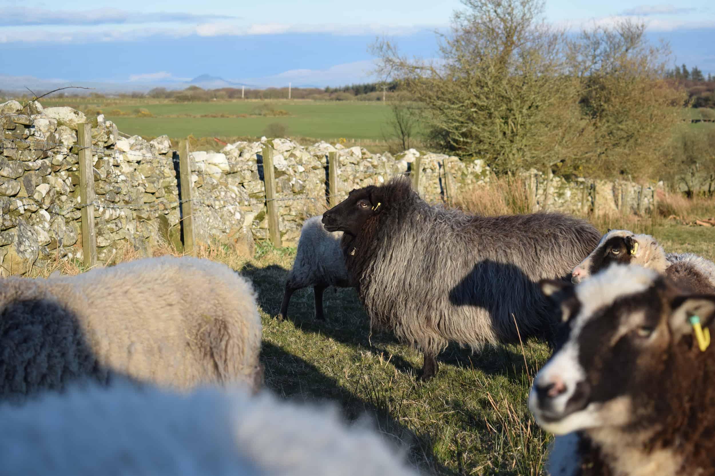 Gem black welsh mountain jacob shetland cross sheeo wild hairy black beauty 8