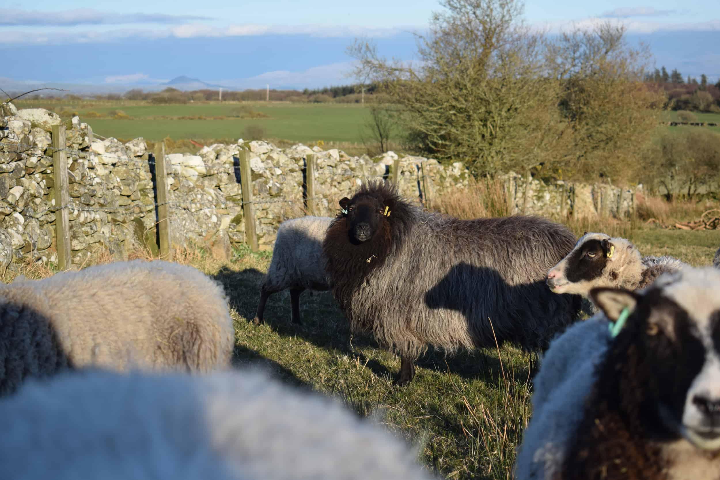 Gem black welsh mountain jacob shetland cross sheeo wild hairy black beauty 9