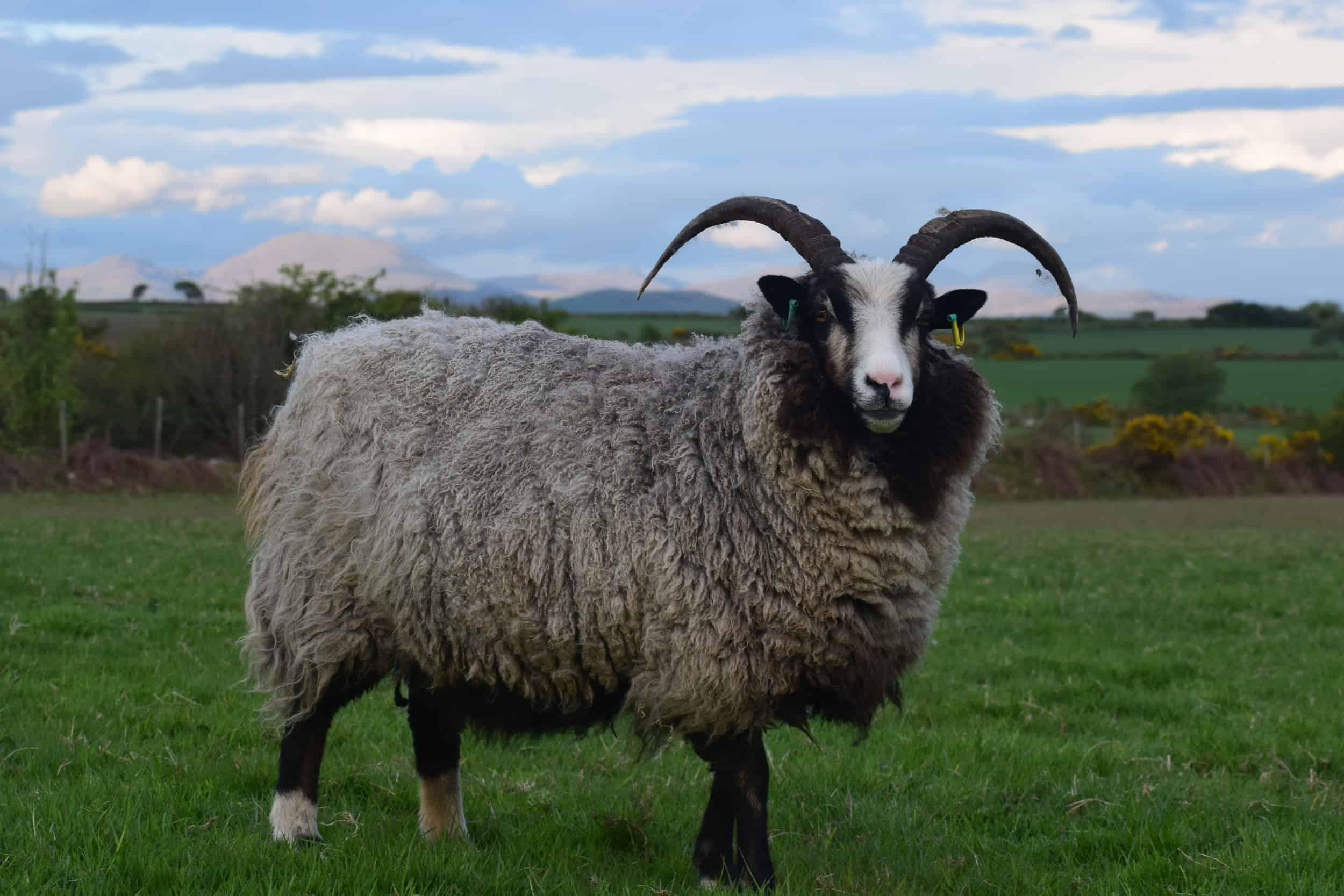 Poppy magnificent horns katmoget badgerface shetland cross jacob sheep lamb cute